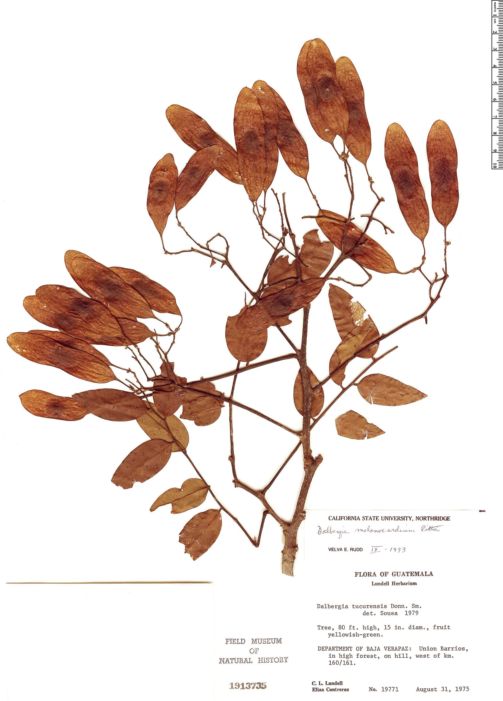 Specimen: Dalbergia tucurensis
