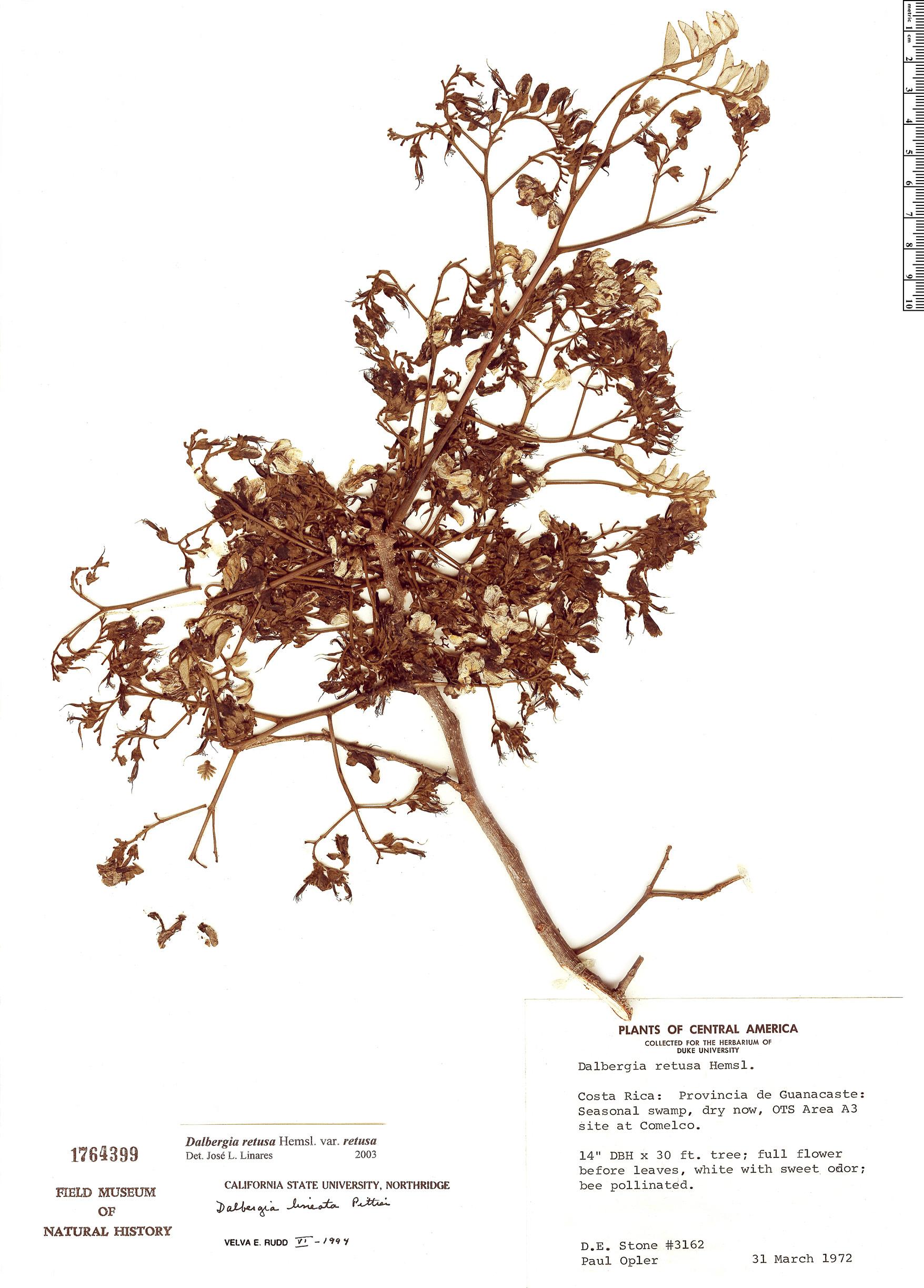 Specimen: Dalbergia retusa