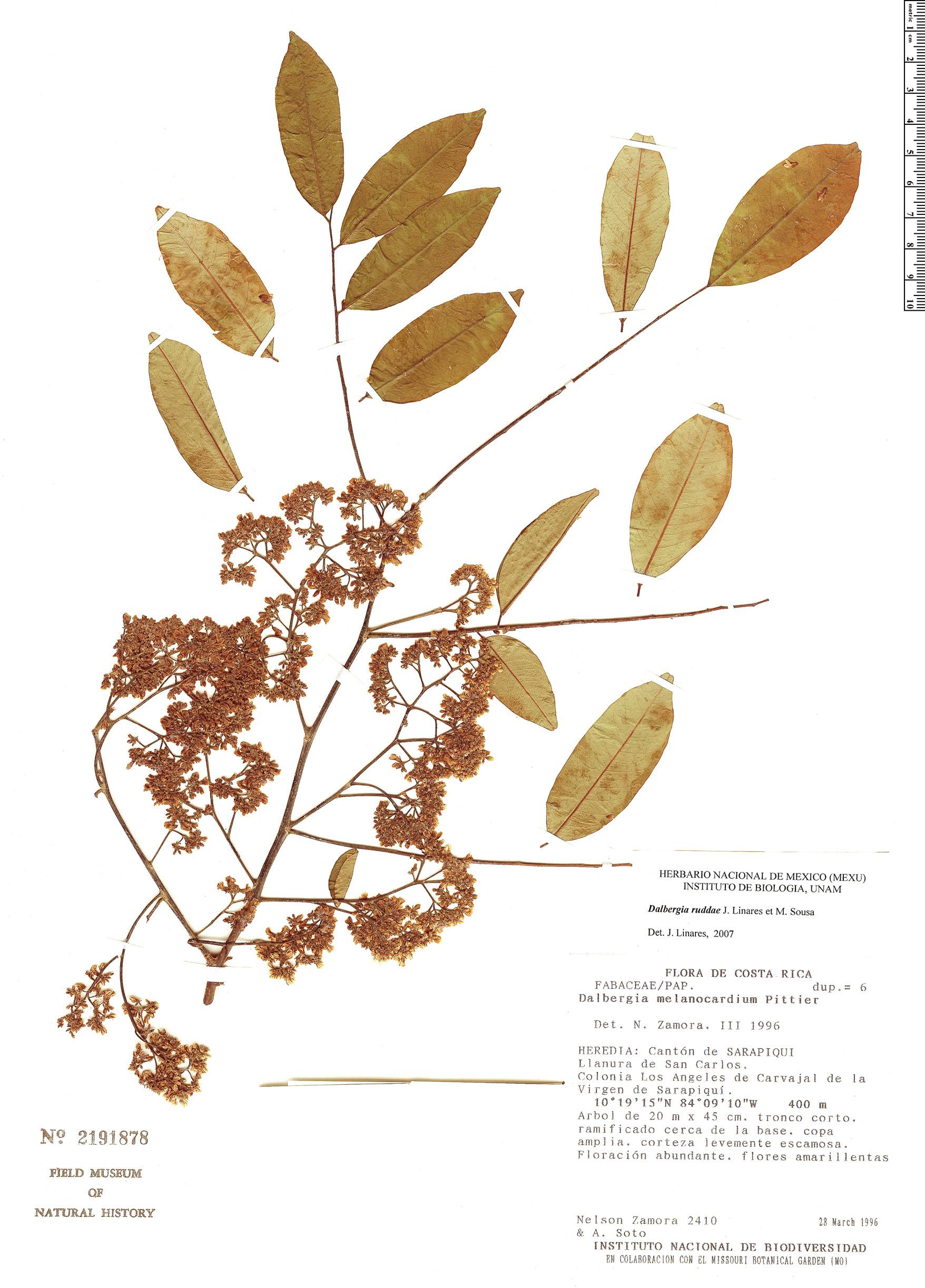 Specimen: Dalbergia ruddiae
