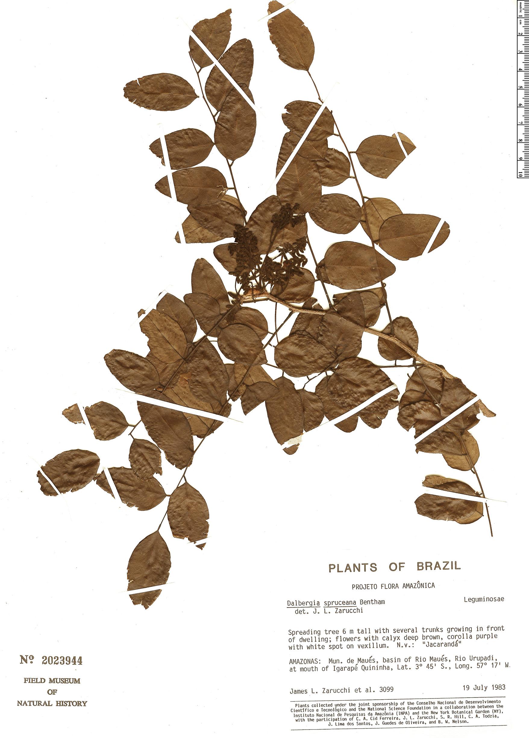 Espécime: Dalbergia spruceana