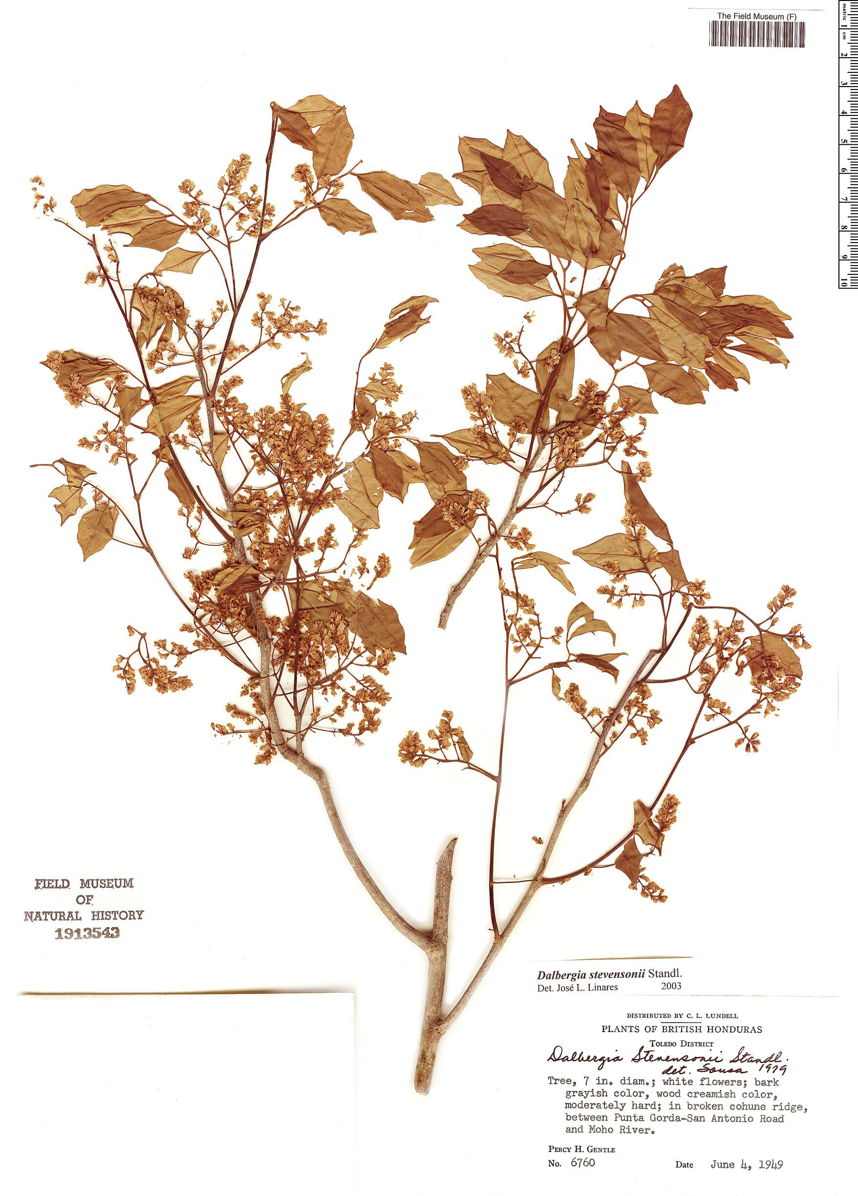 Specimen: Dalbergia stevensonii