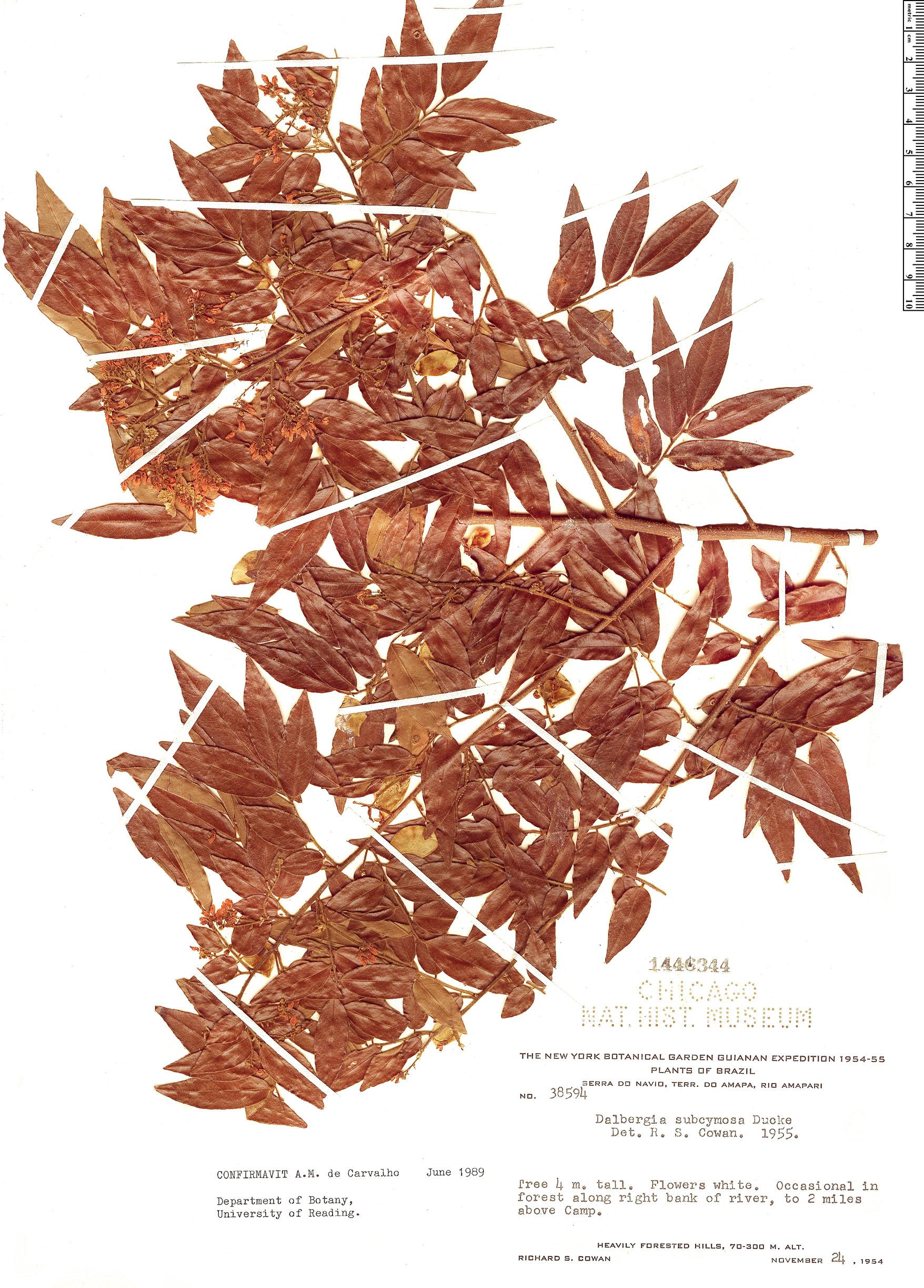 Specimen: Dalbergia subcymosa
