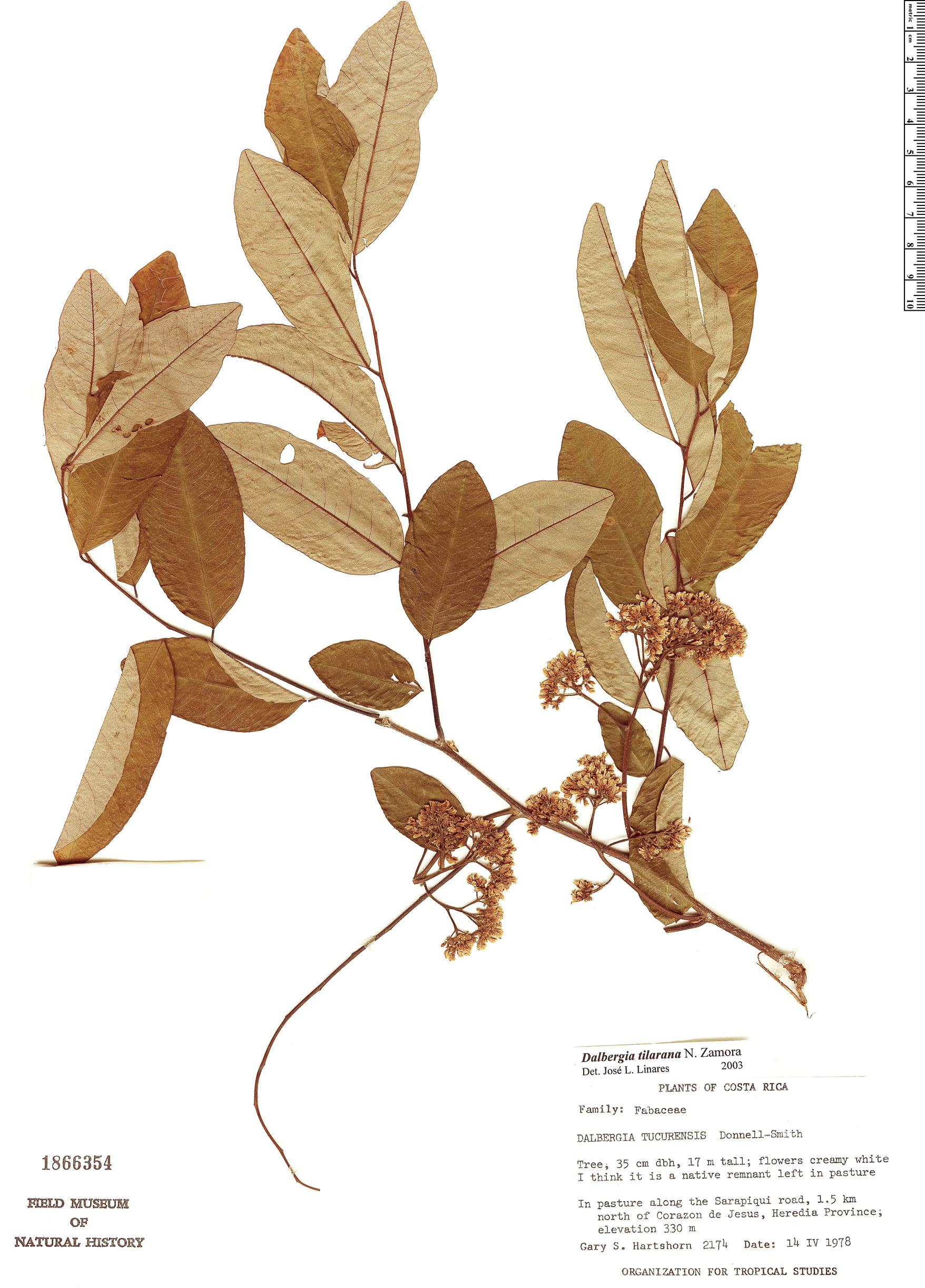 Specimen: Dalbergia tilarana