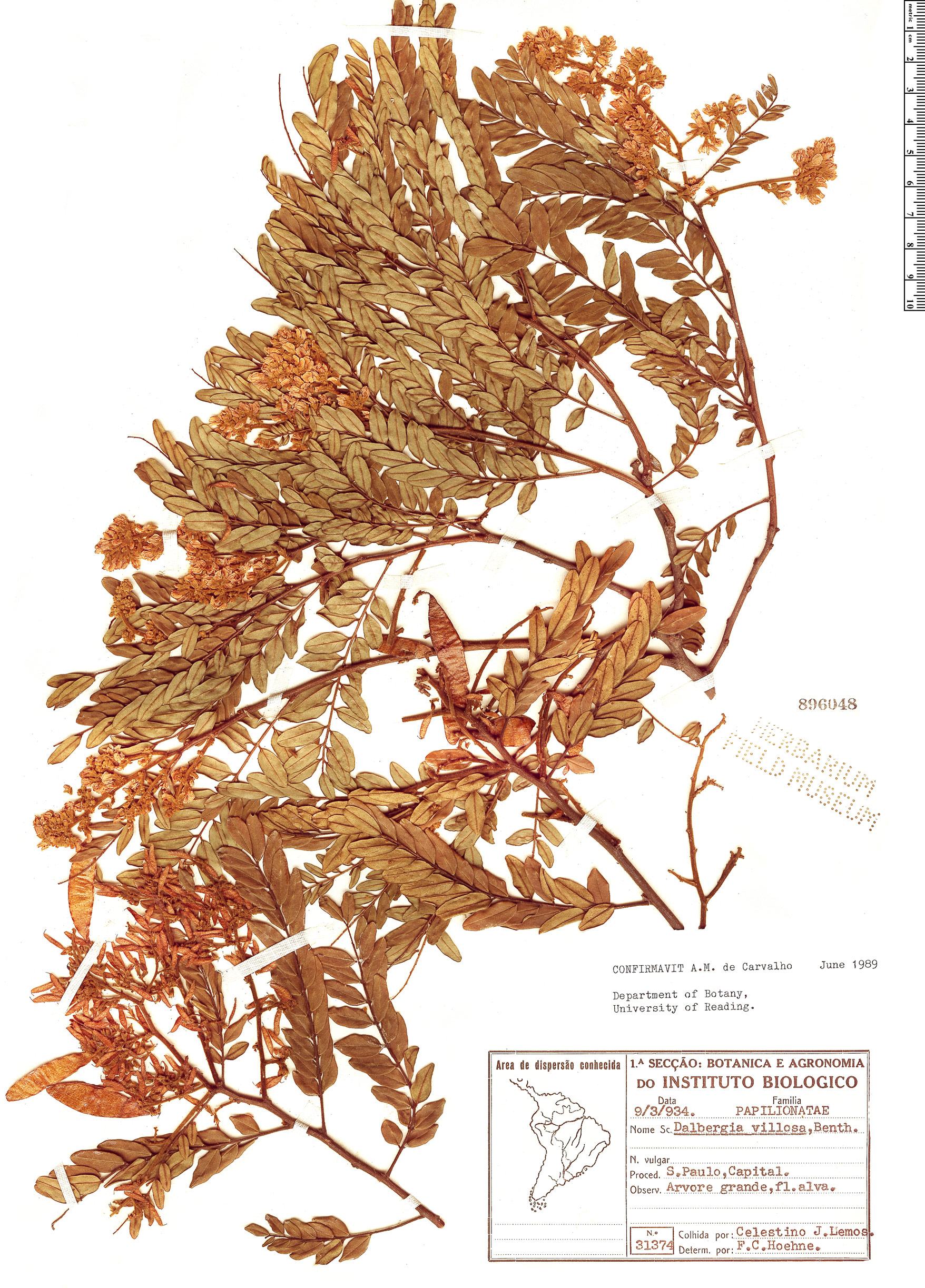 Specimen: Dalbergia villosa