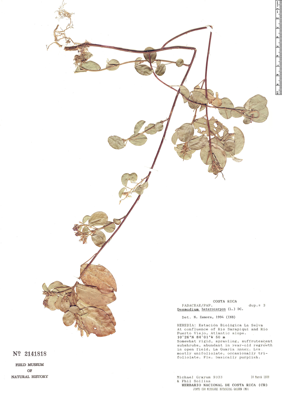 Specimen: Desmodium heterocarpon