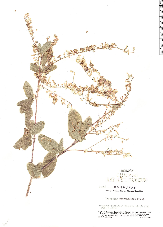 Specimen: Desmodium nicaraguense