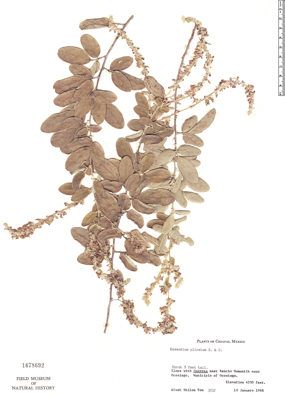Specimen: Desmodium plicatum