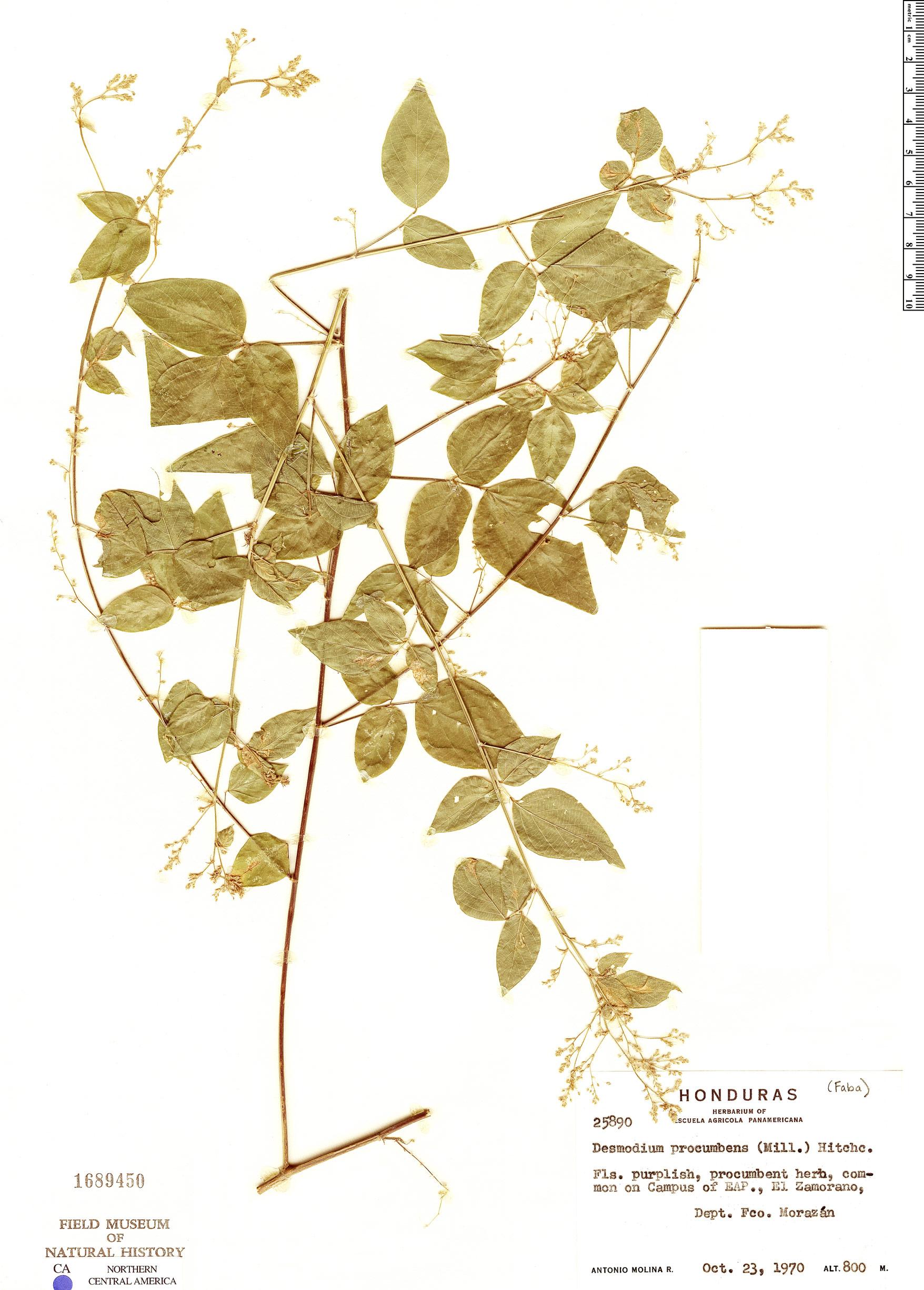 Desmodium procumbens image