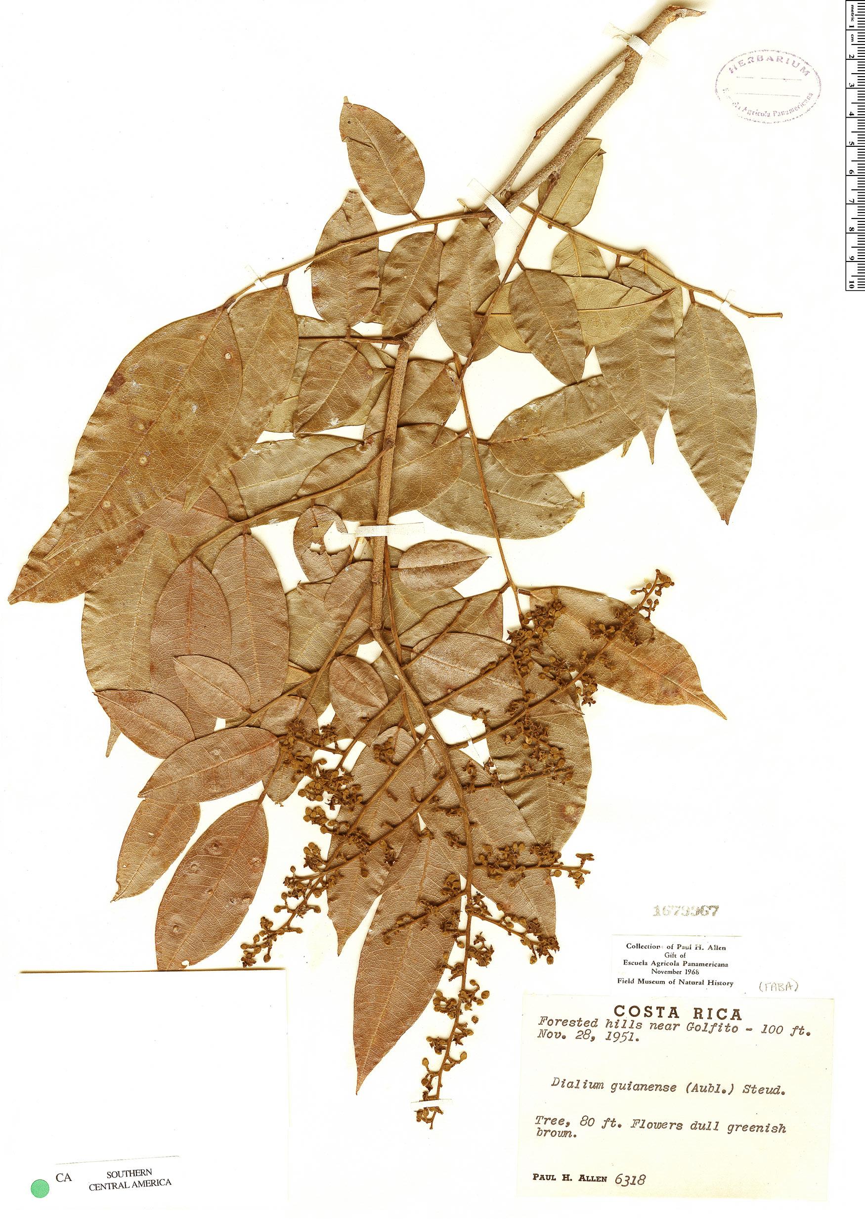 Specimen: Dialium guianense