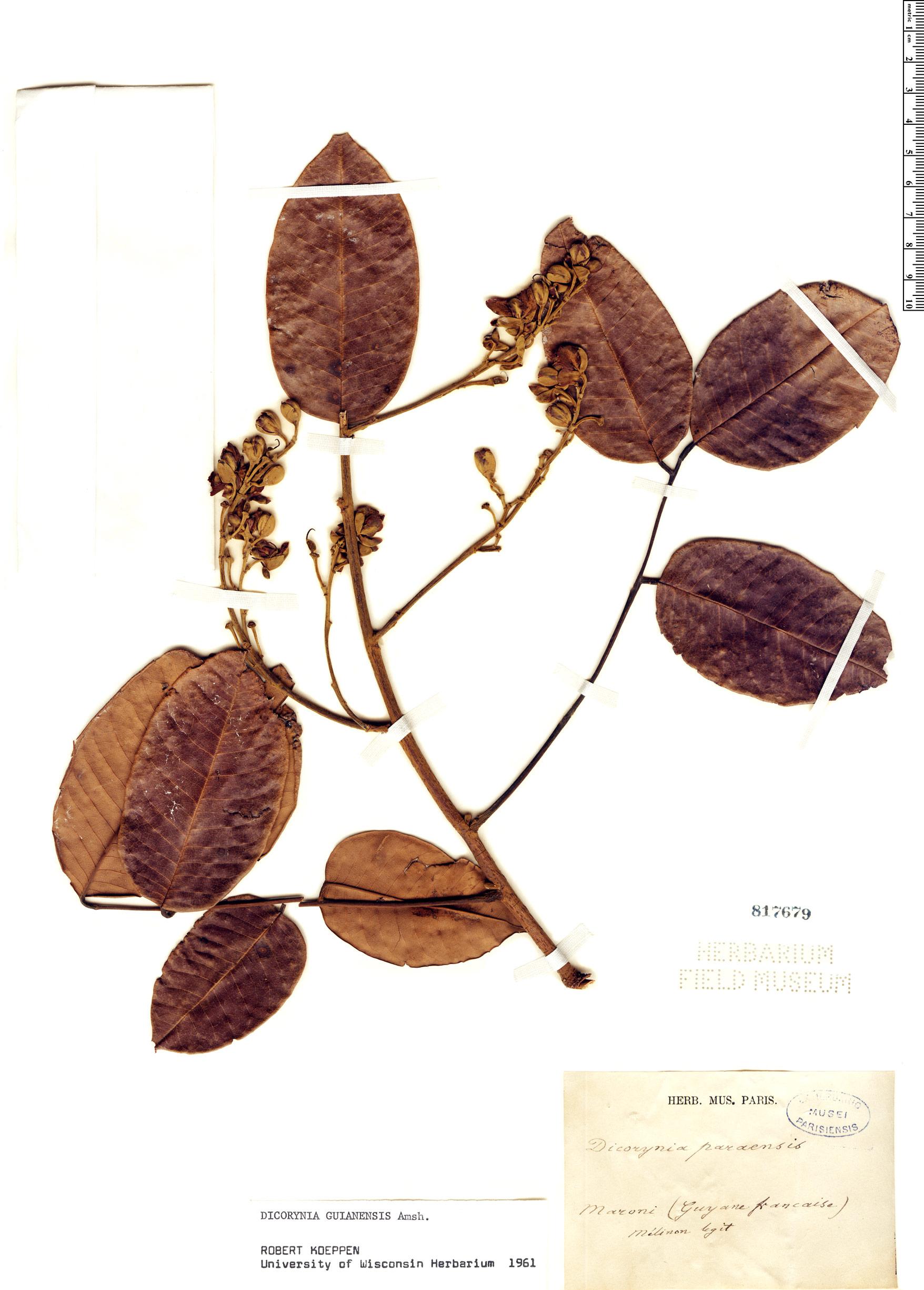 Specimen: Dicorynia guianensis