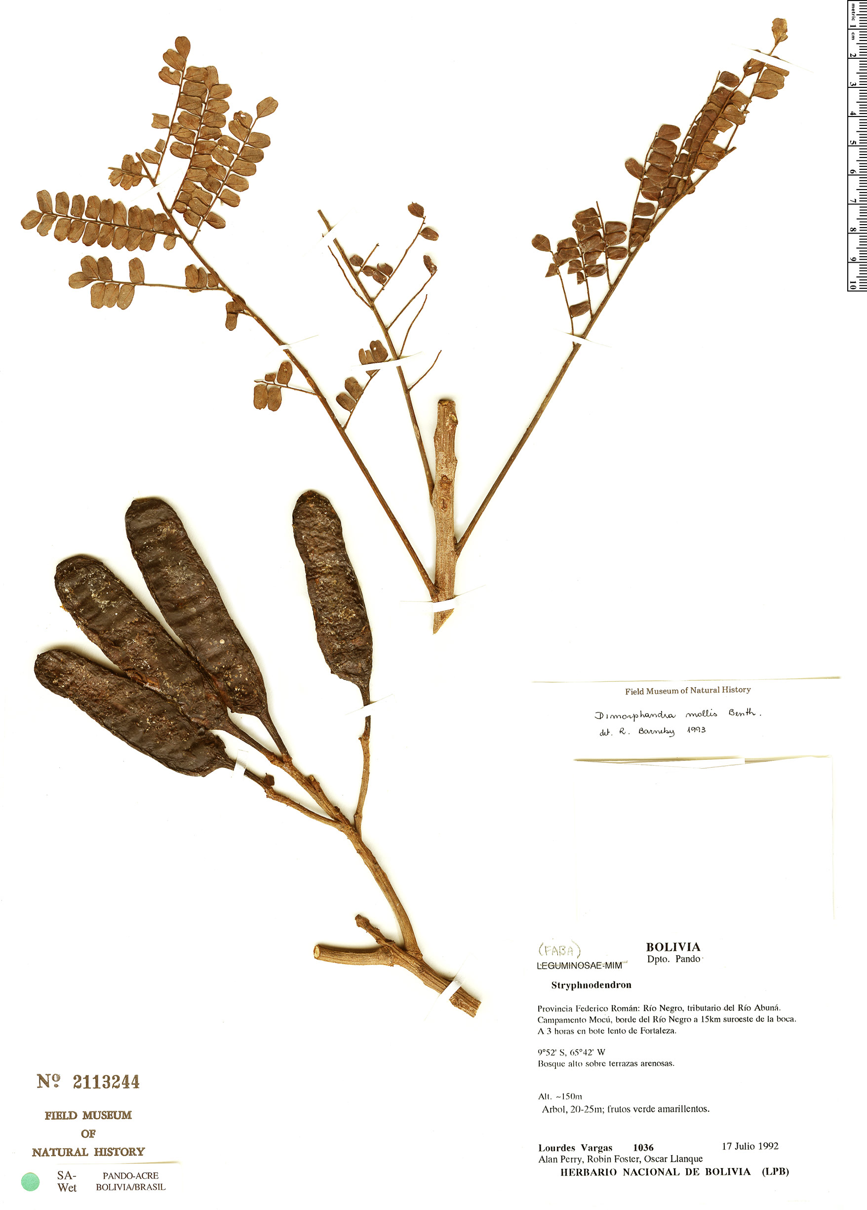 Specimen: Dimorphandra mollis
