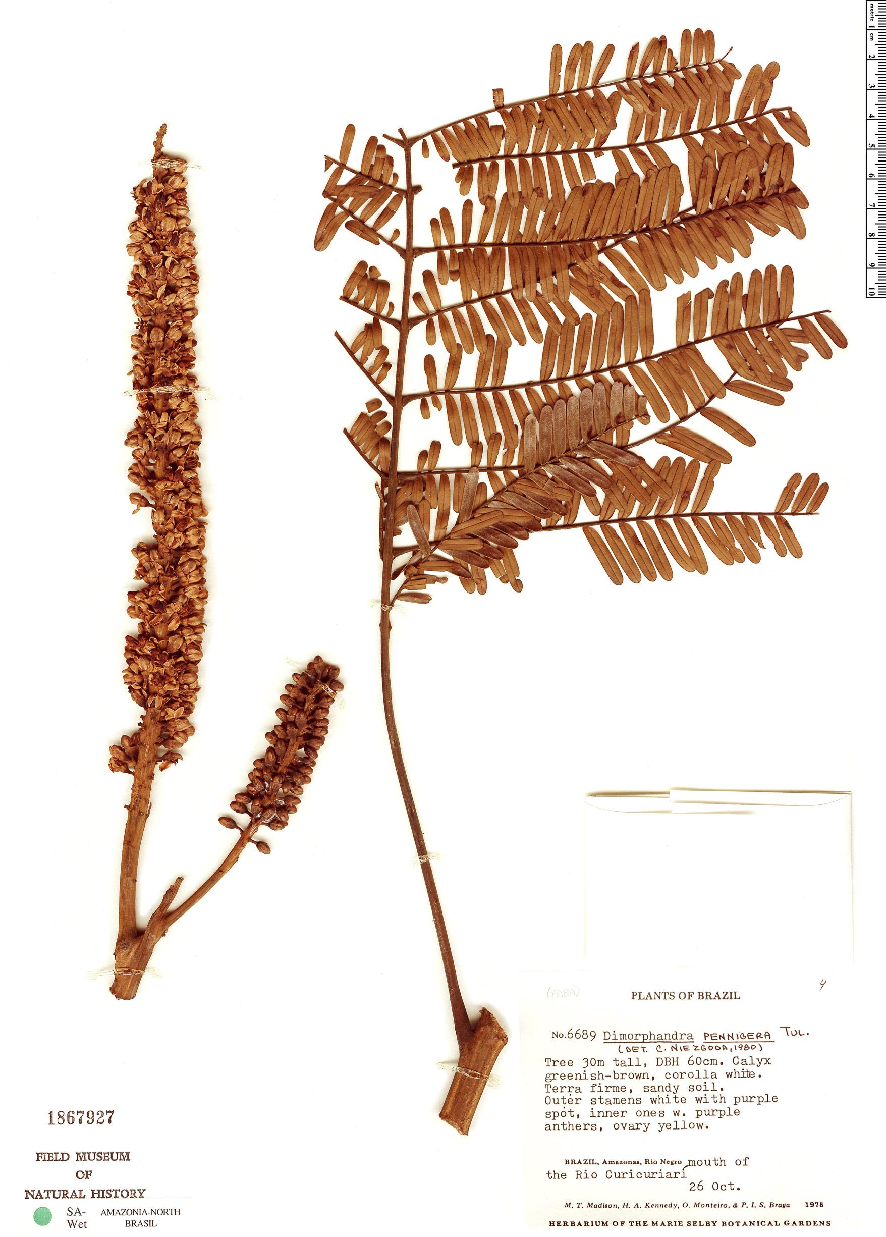 Specimen: Dimorphandra pennigera