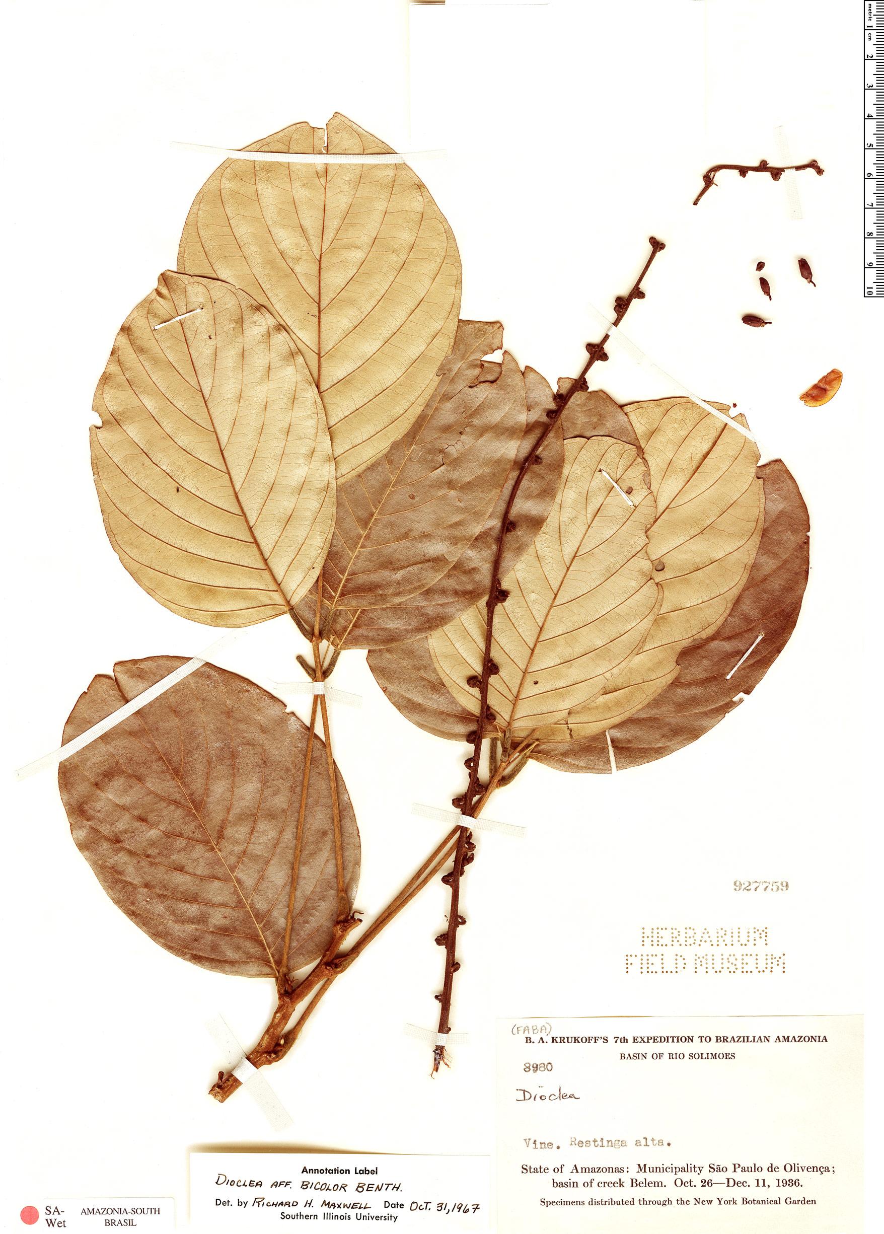 Espécimen: Dioclea bicolor