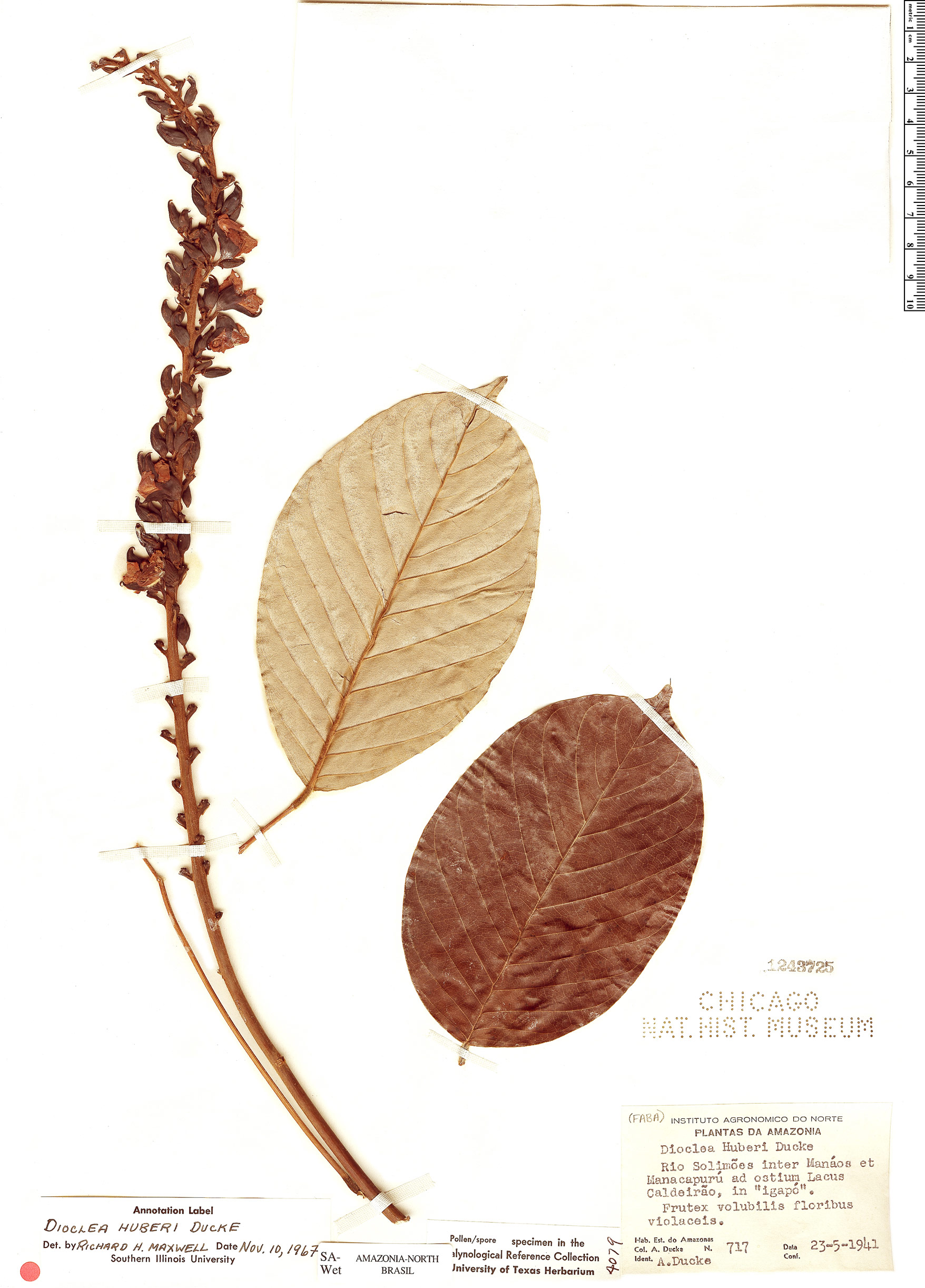 Specimen: Dioclea huberi