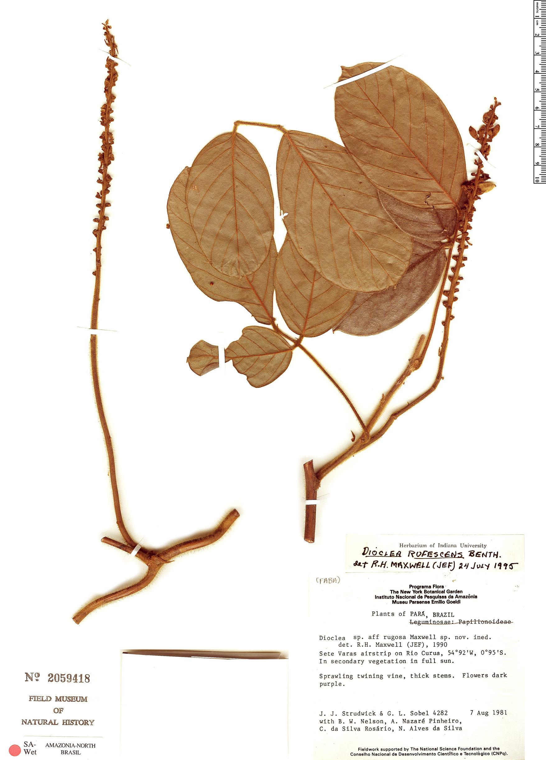 Specimen: Dioclea rufescens