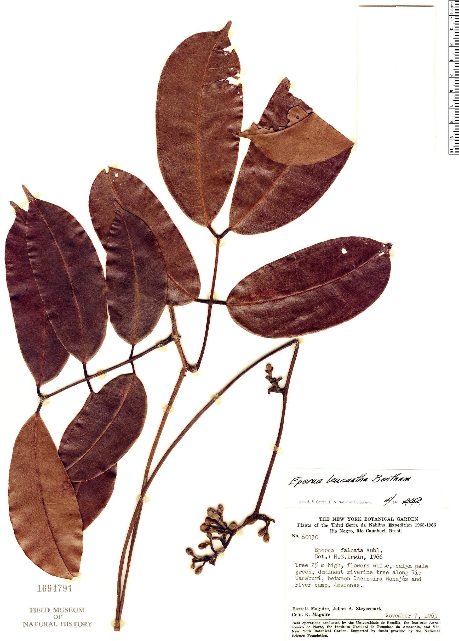 Specimen: Eperua leucantha