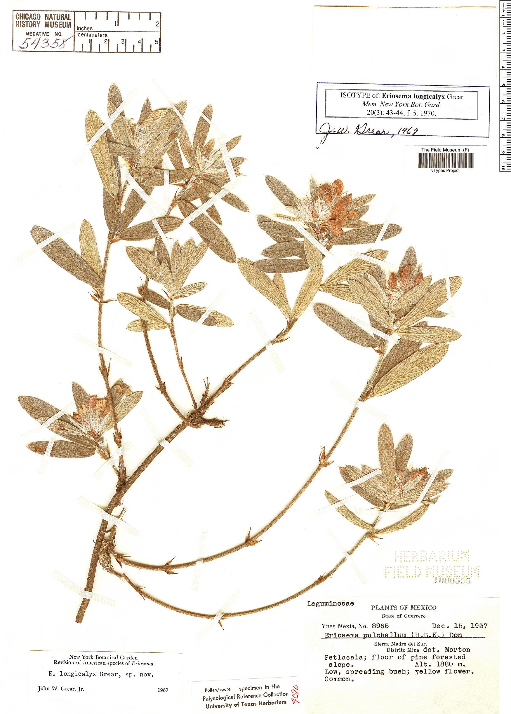 Specimen: Eriosema longicalyx