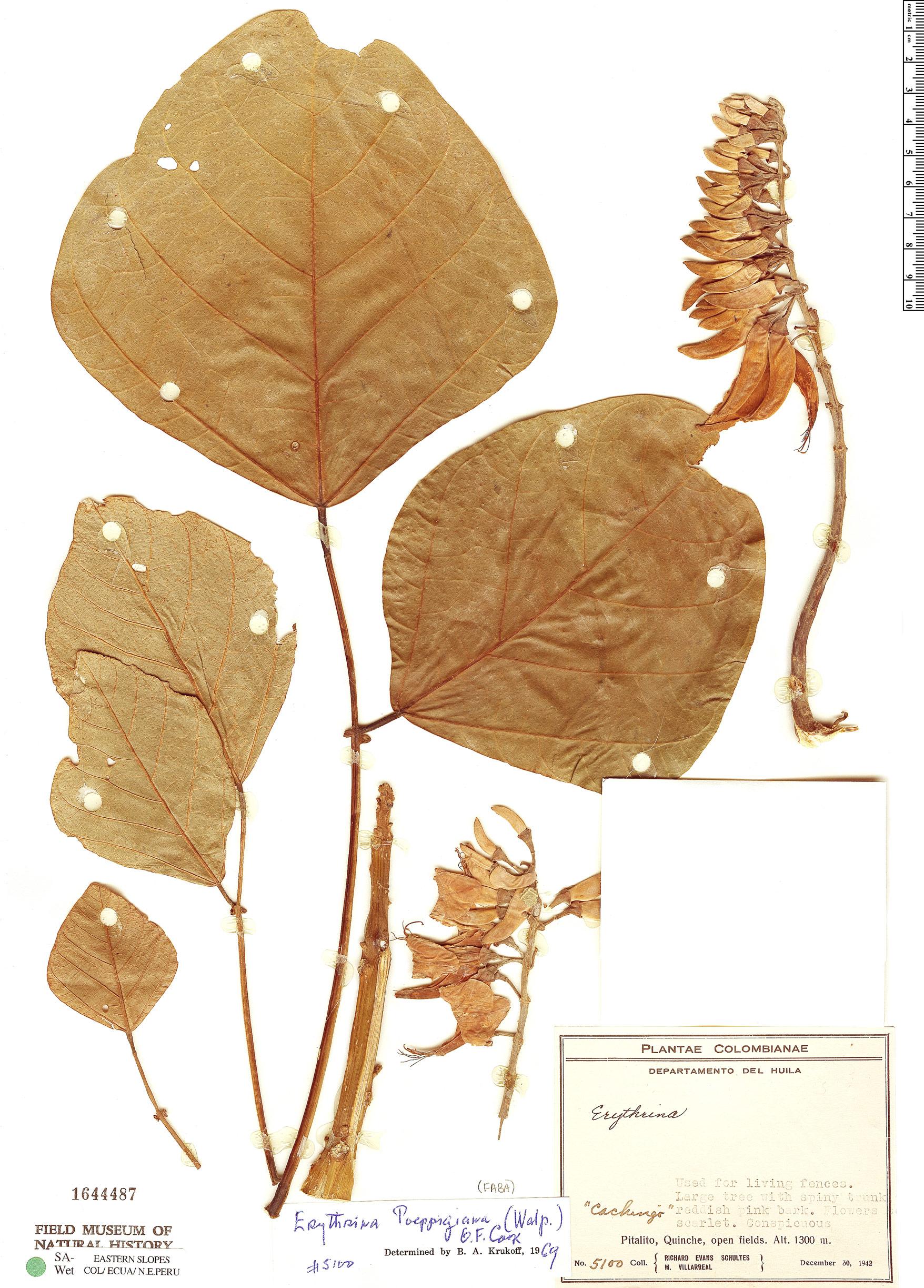 Espécimen: Erythrina poeppigiana