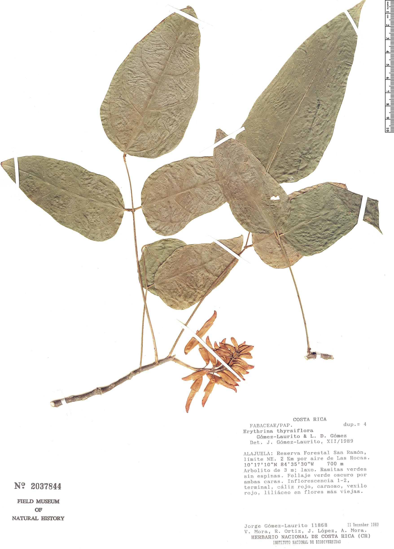 Specimen: Erythrina thyrsiflora