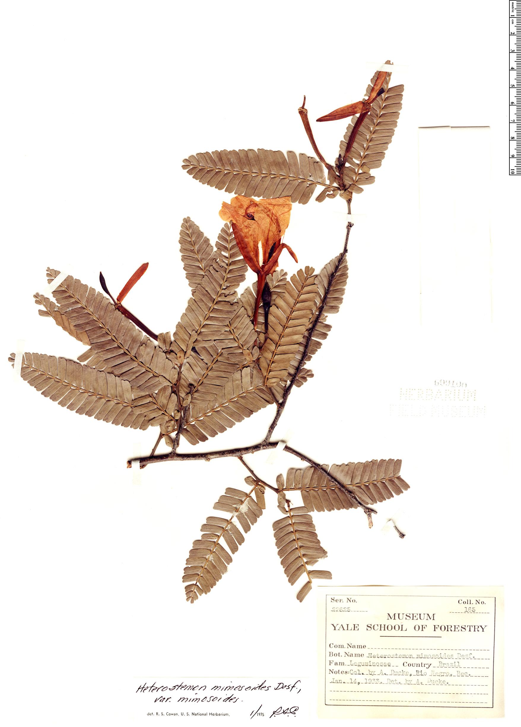 Specimen: Heterostemon mimosoides
