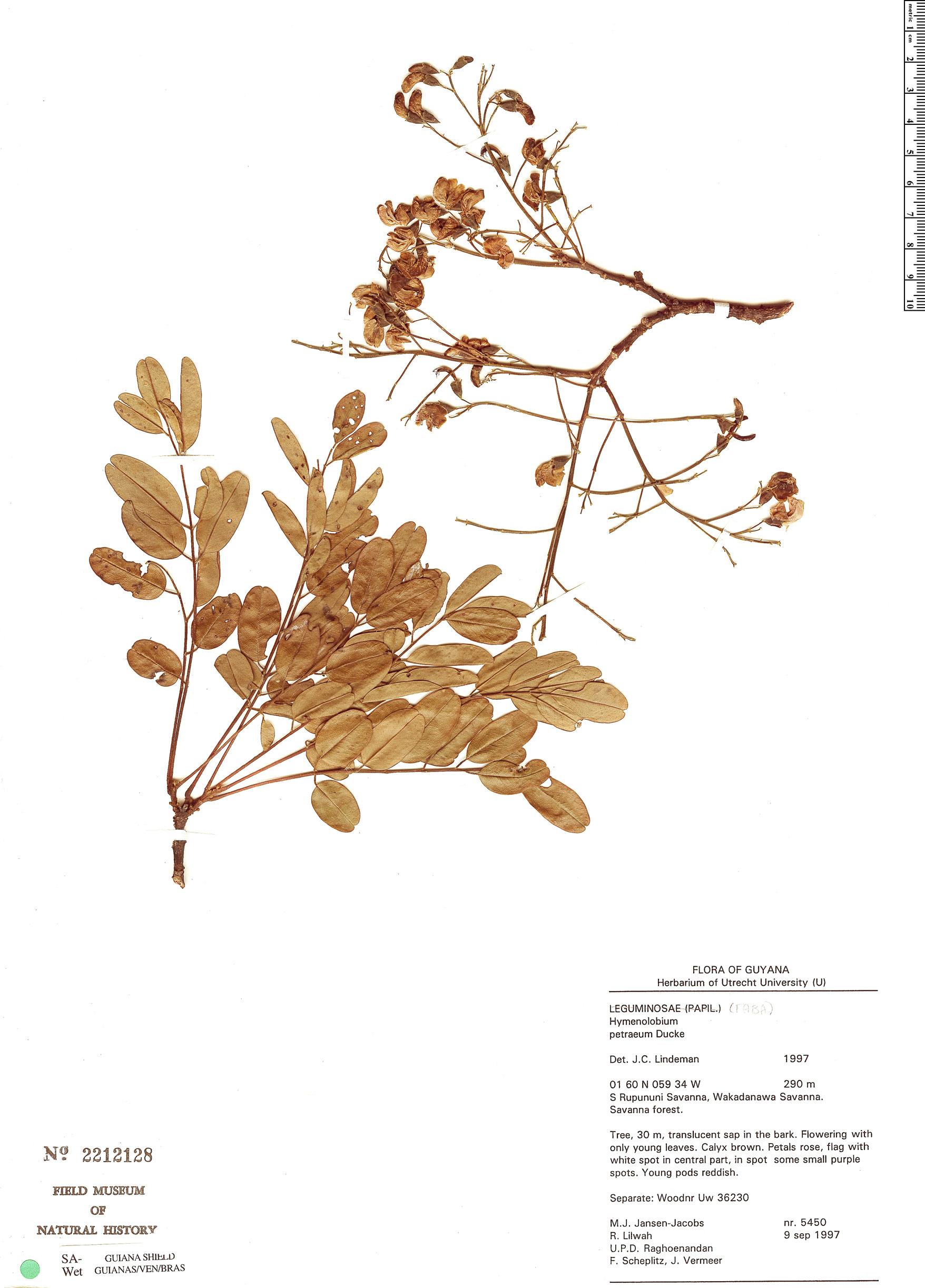 Espécime: Hymenolobium petraeum