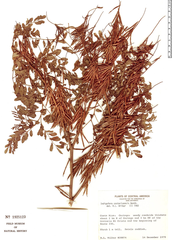 Specimen: Indigofera costaricensis
