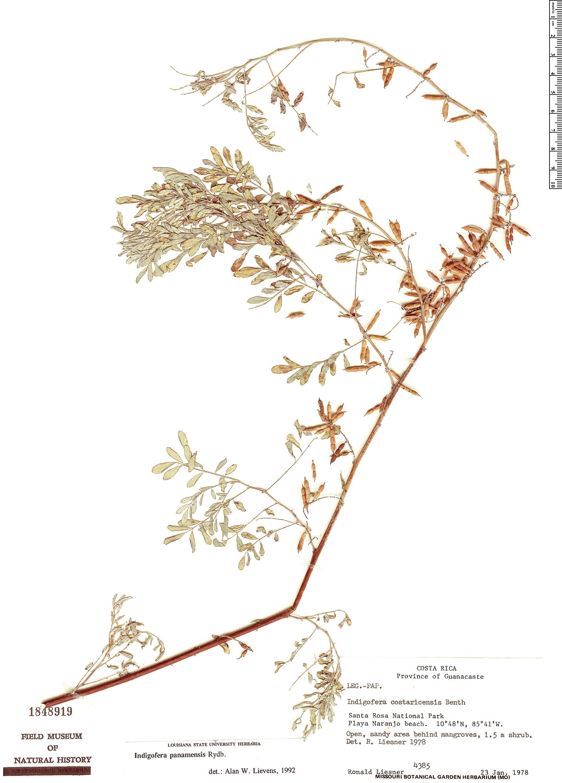 Specimen: Indigofera panamensis