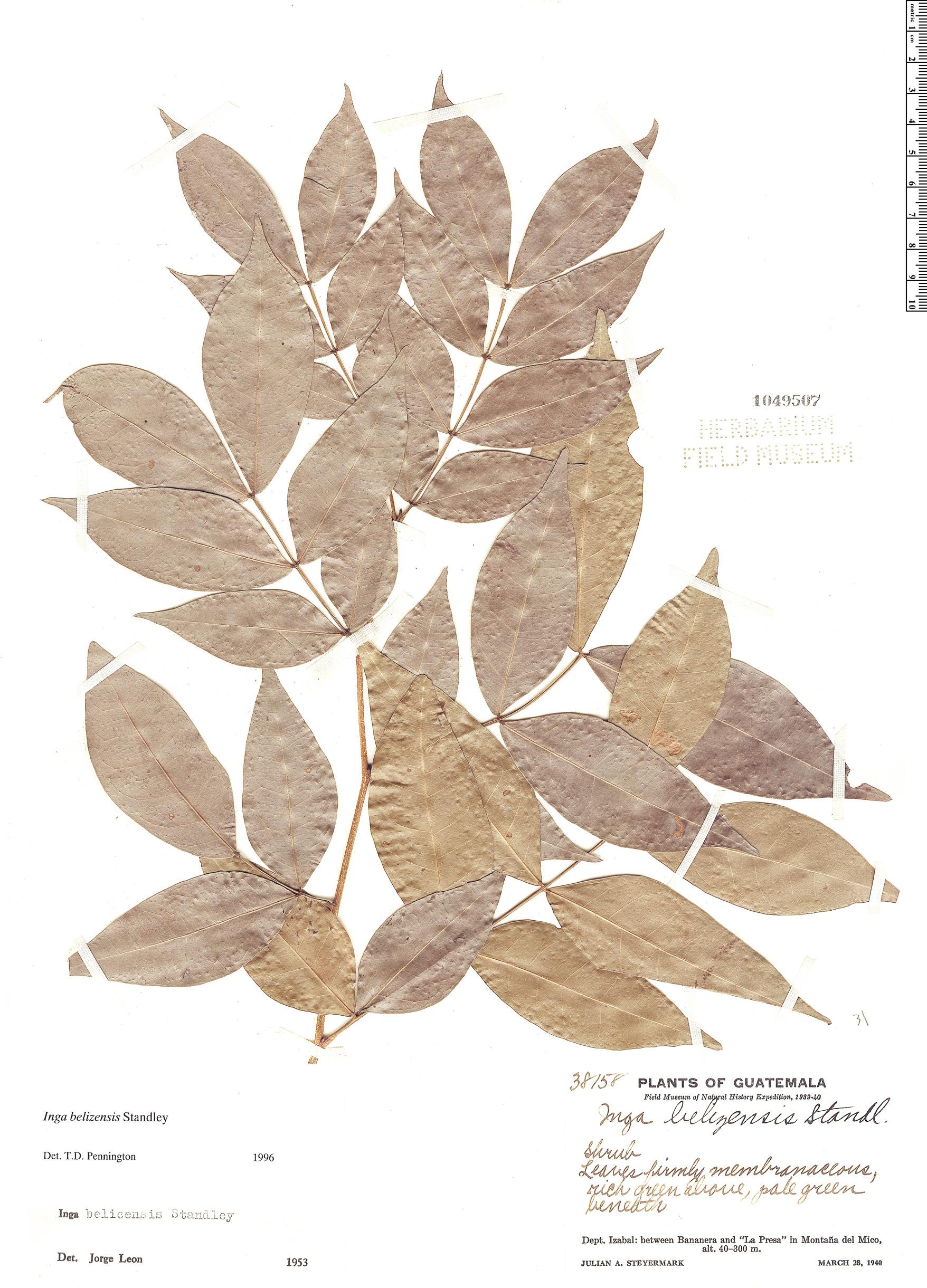 Specimen: Inga belizensis