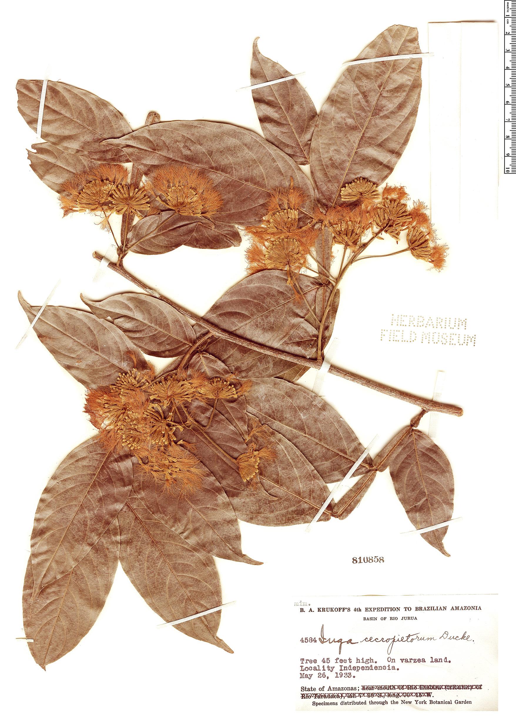 Specimen: Inga cecropietorum