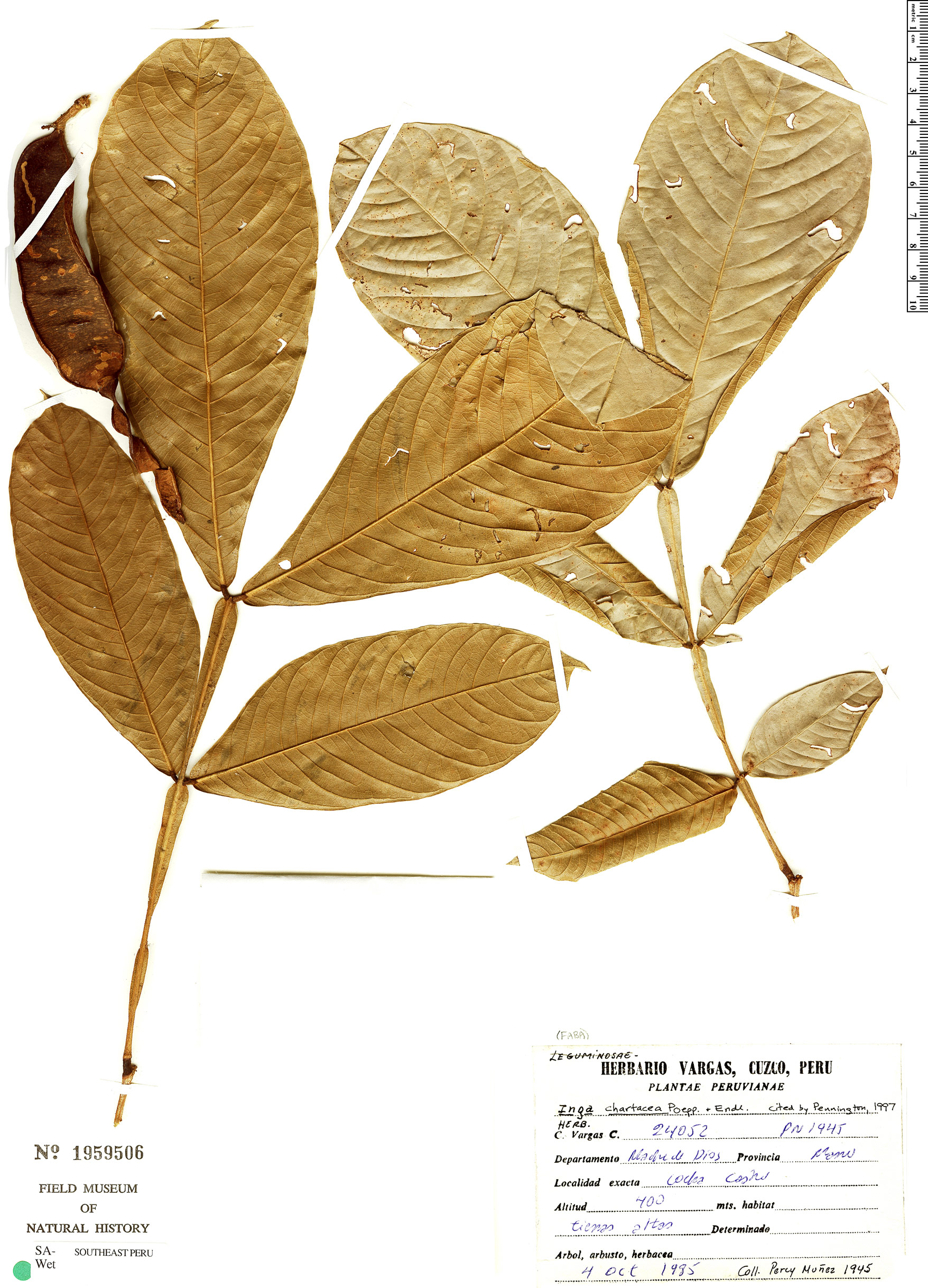 Specimen: Inga chartacea