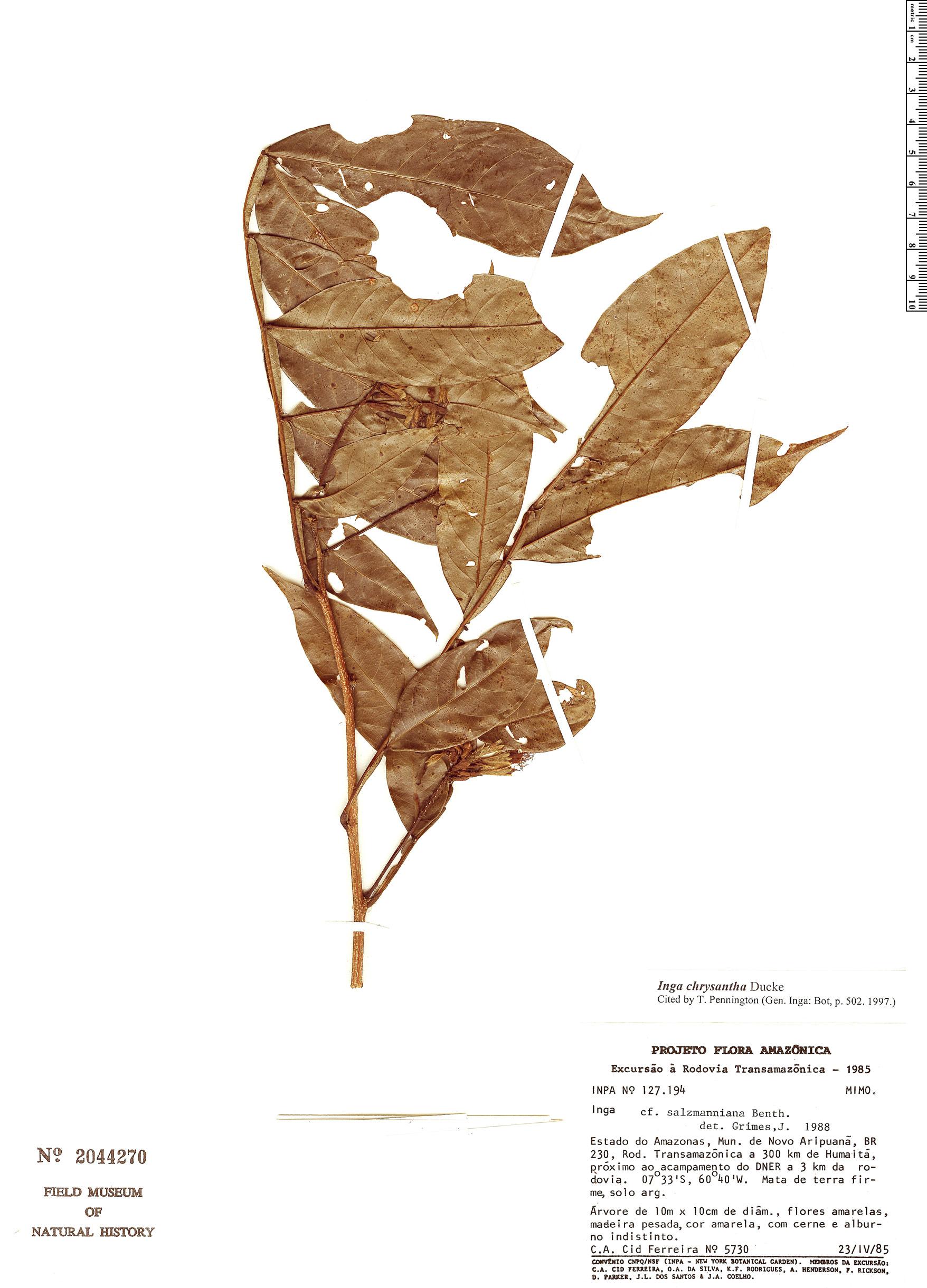Specimen: Inga chrysantha
