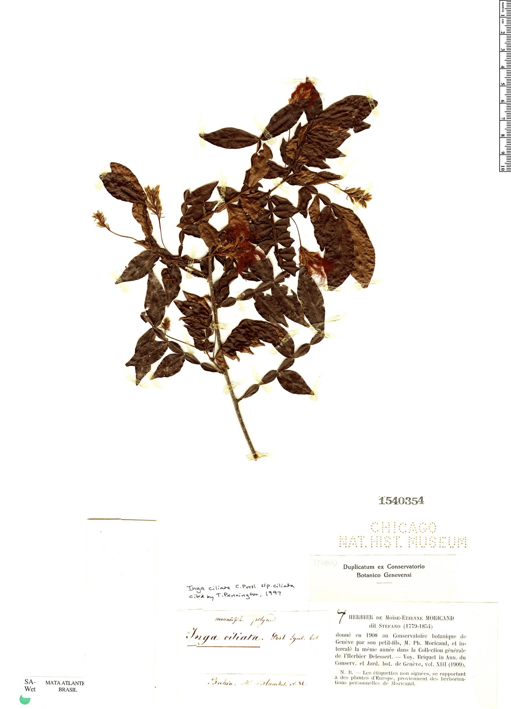 Specimen: Inga ciliata