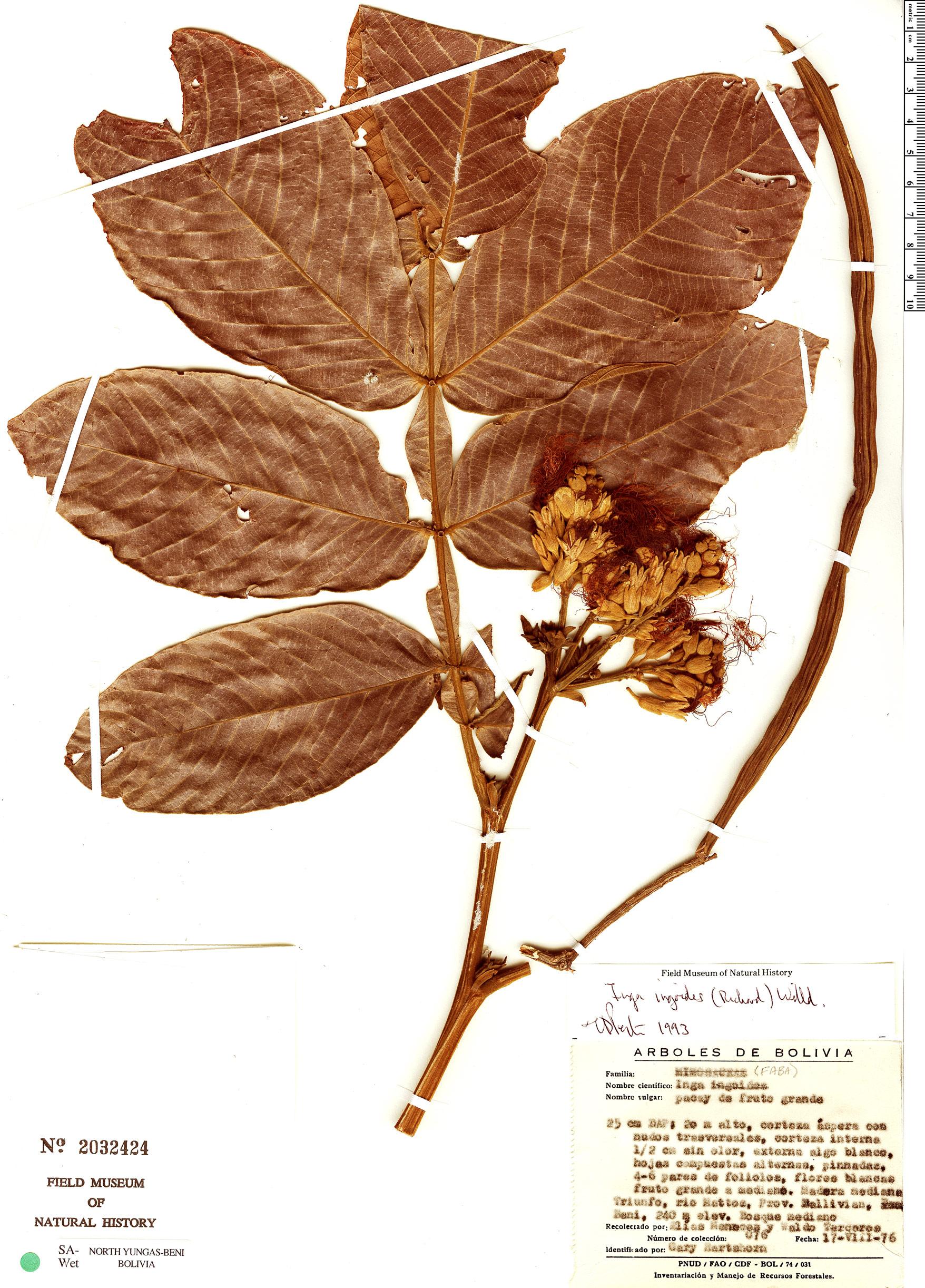 Espécimen: Inga ingoides