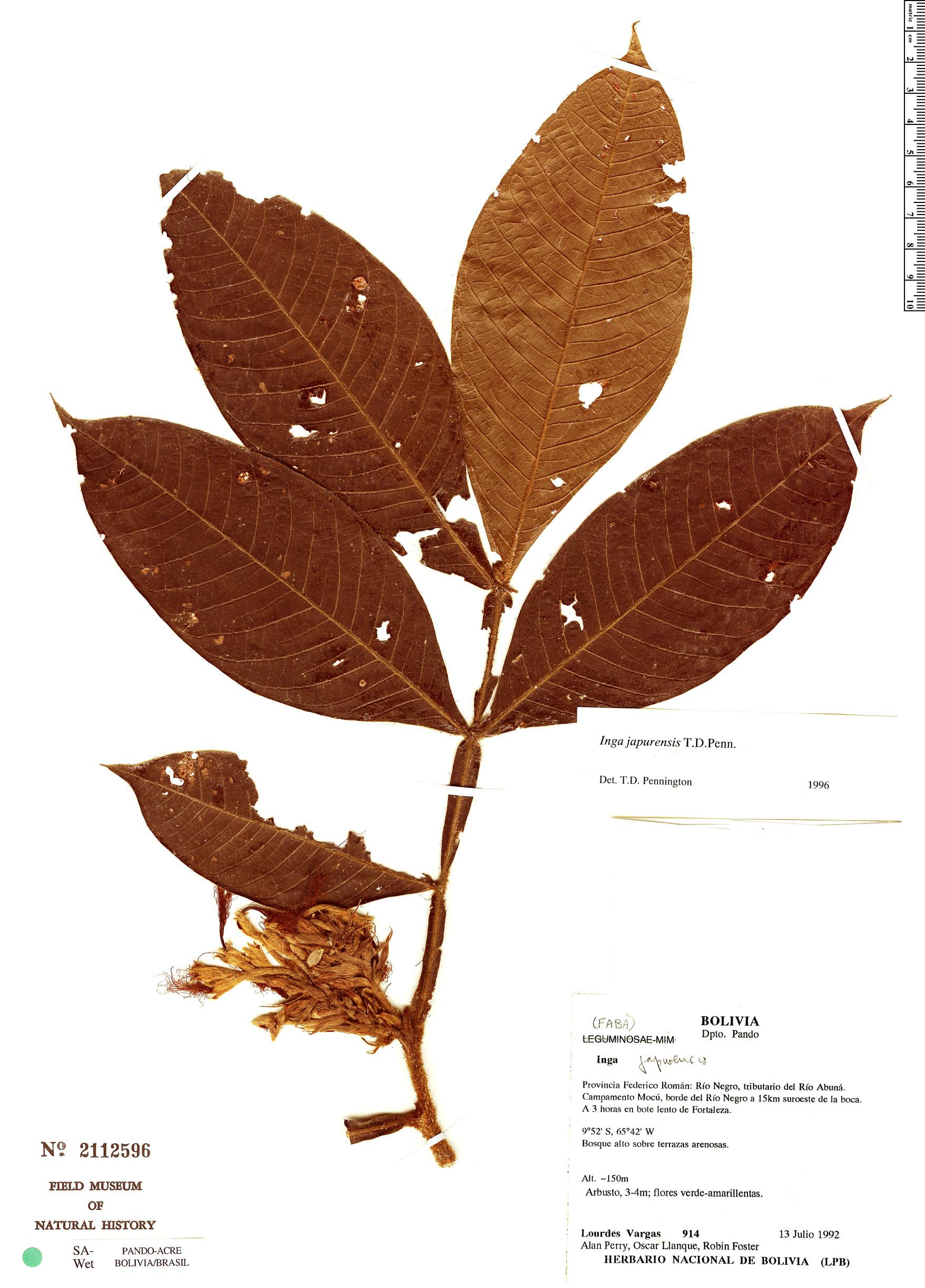 Specimen: Inga japurensis