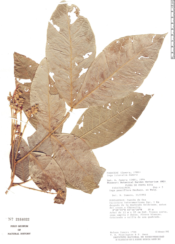 Specimen: Inga litoralis