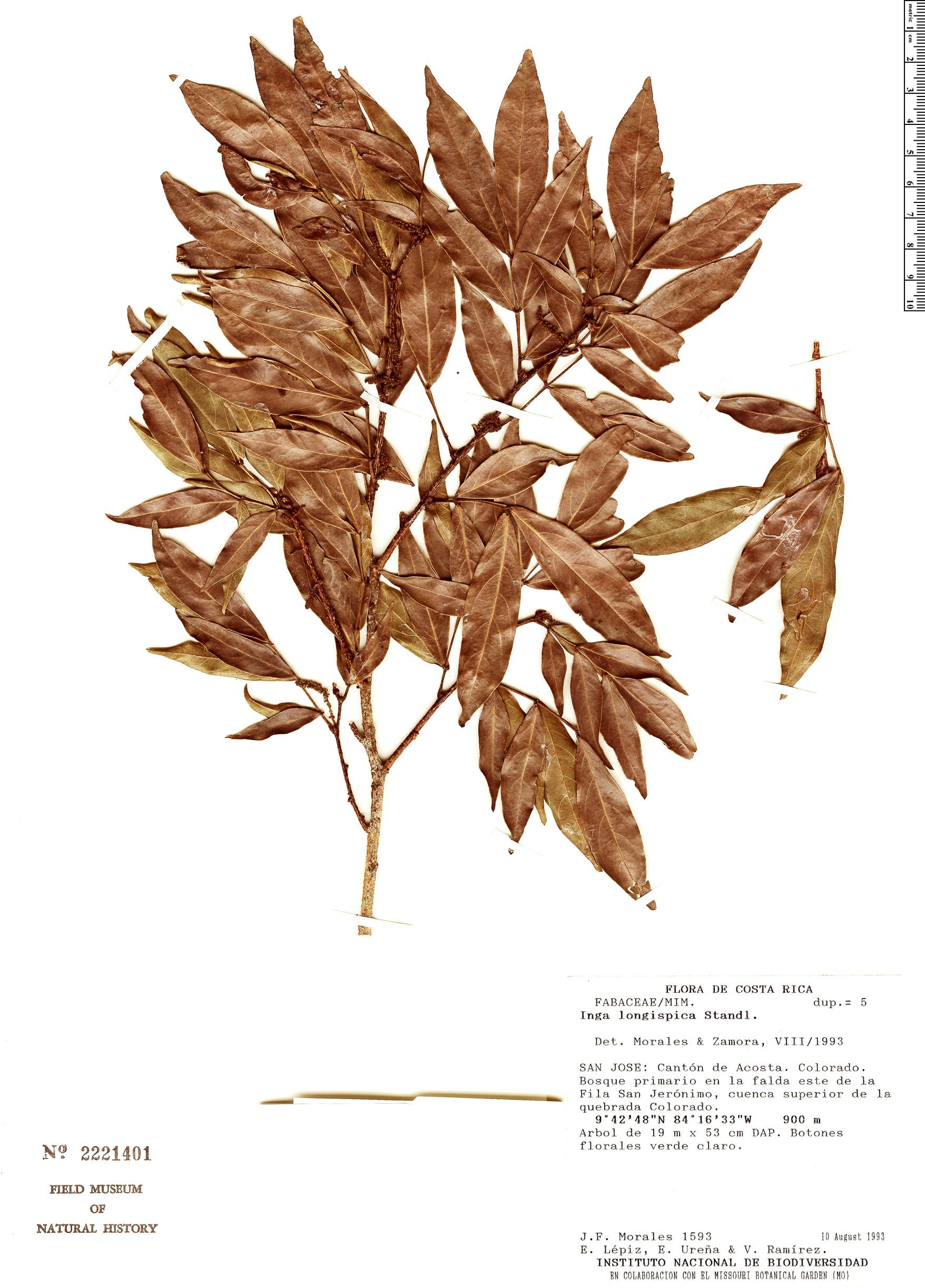 Specimen: Inga longispica