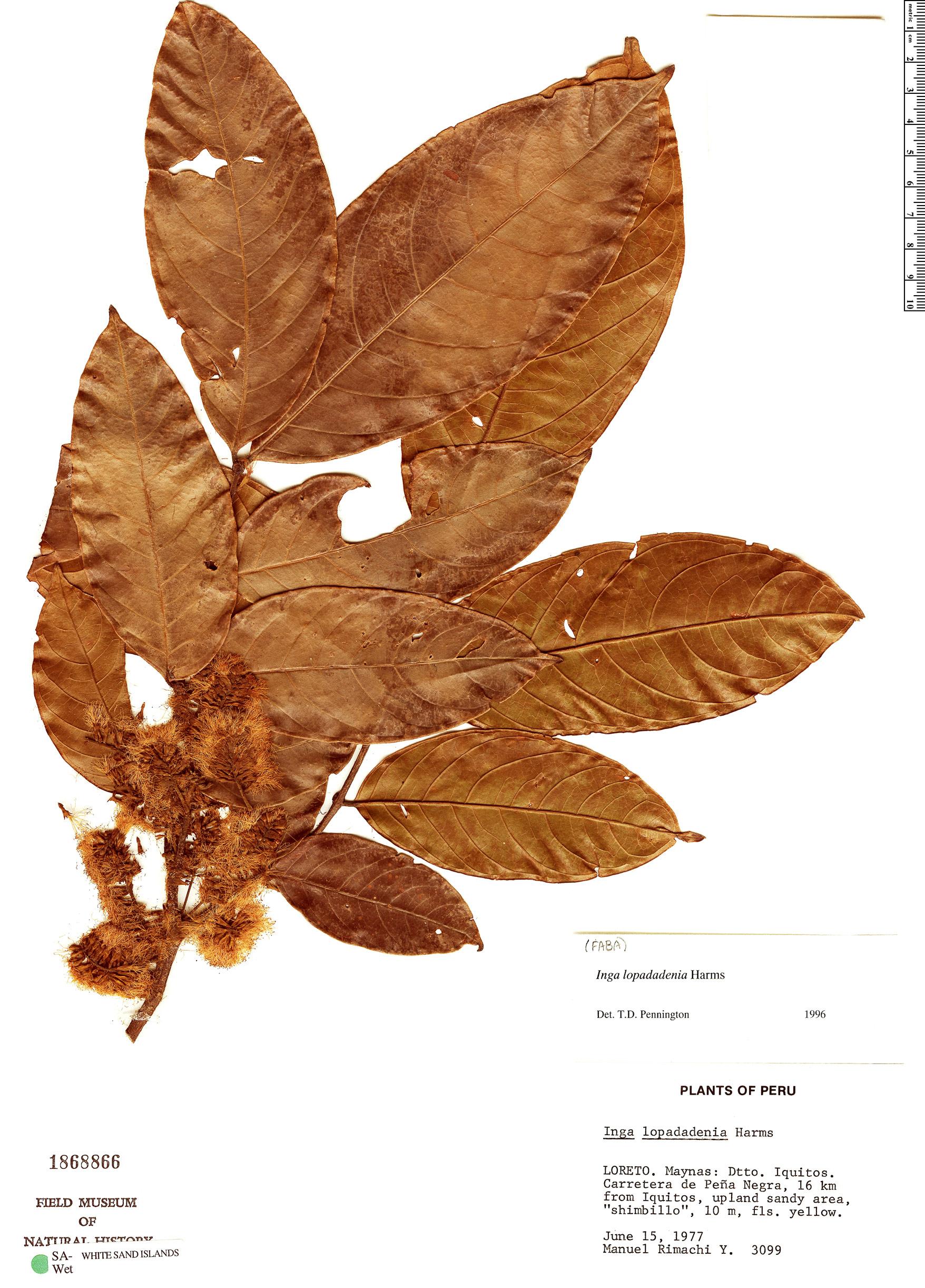 Espécimen: Inga lopadadenia