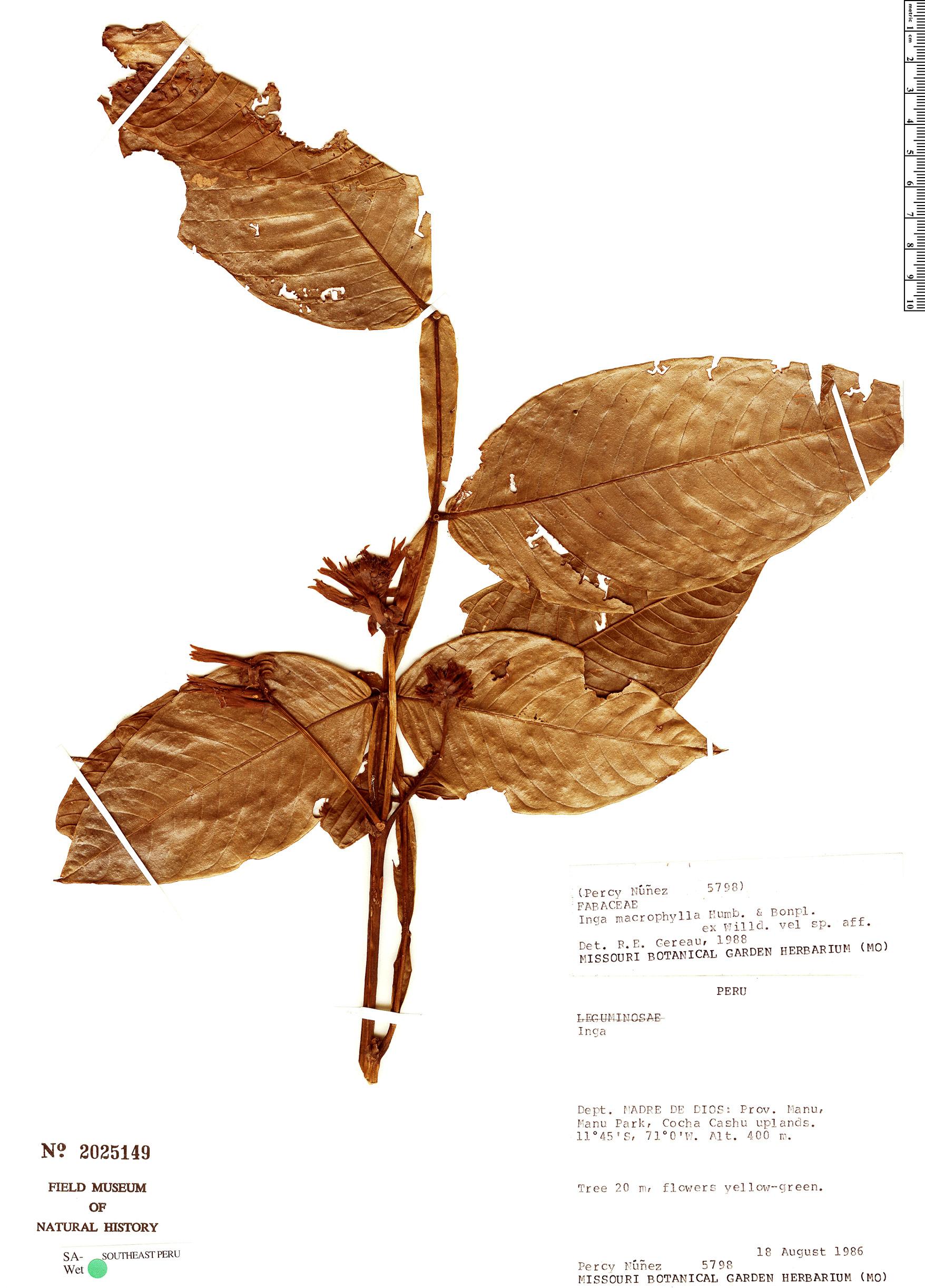 Specimen: Inga macrophylla