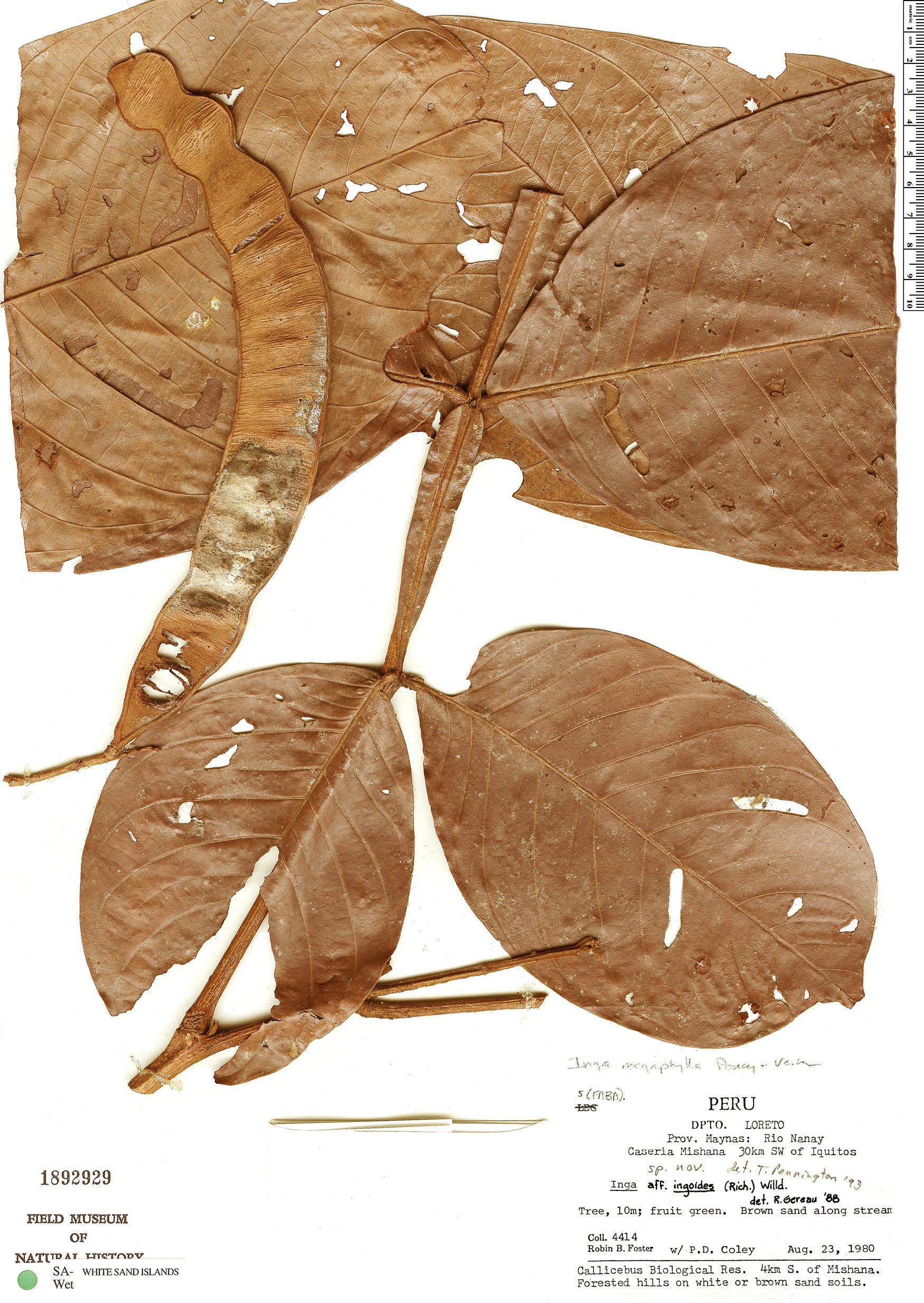 Specimen: Inga megaphylla