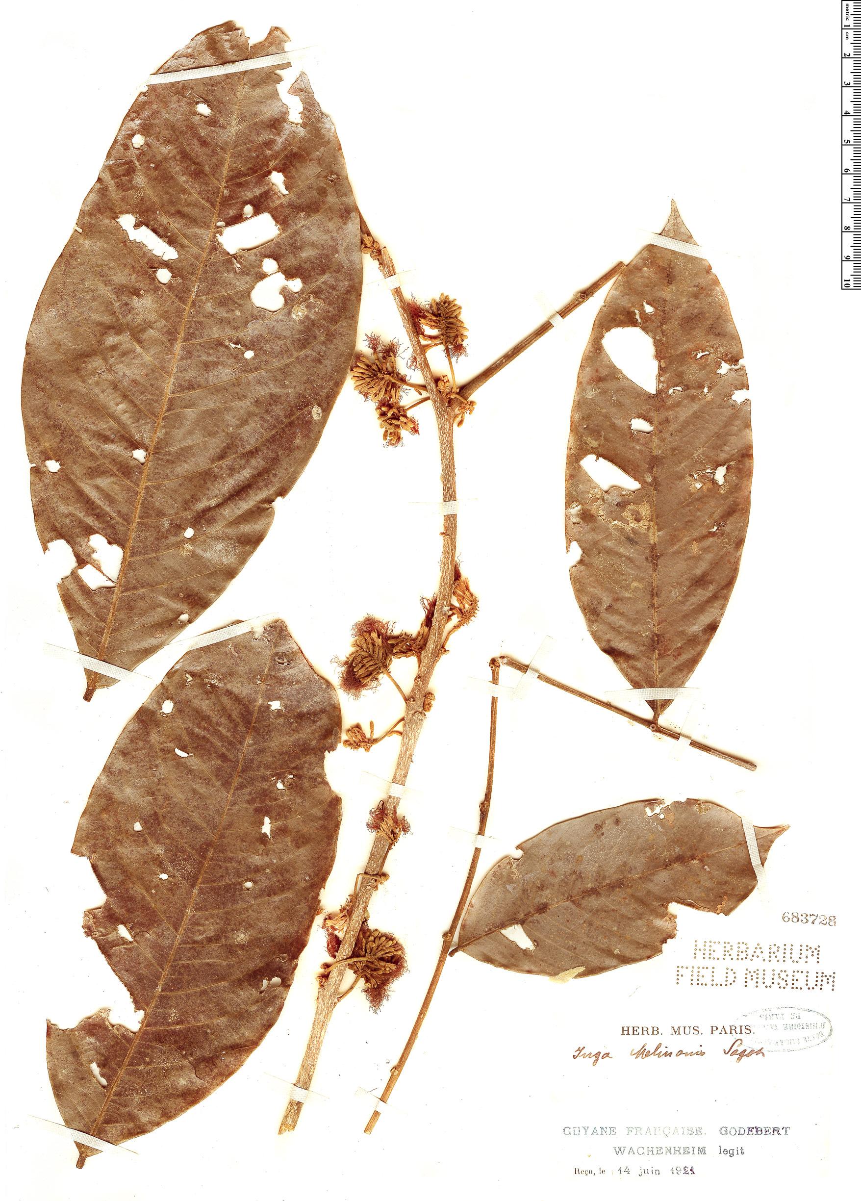 Espécimen: Inga melinonis