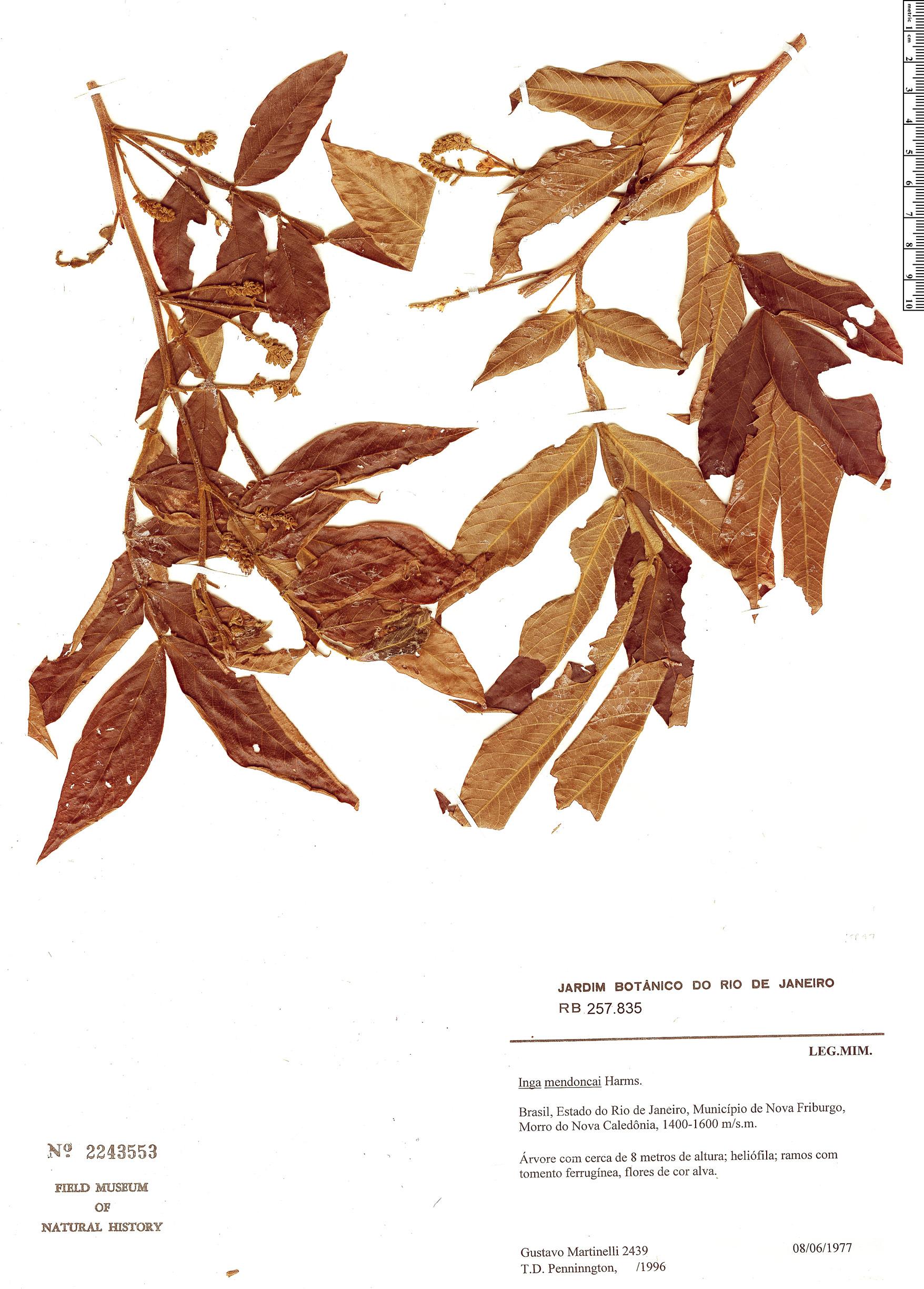 Specimen: Inga mendoncaei