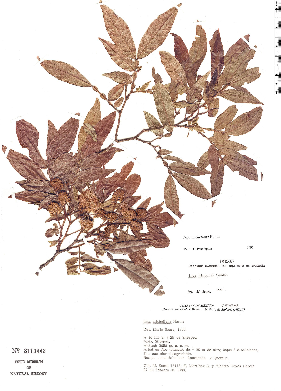 Specimen: Inga micheliana
