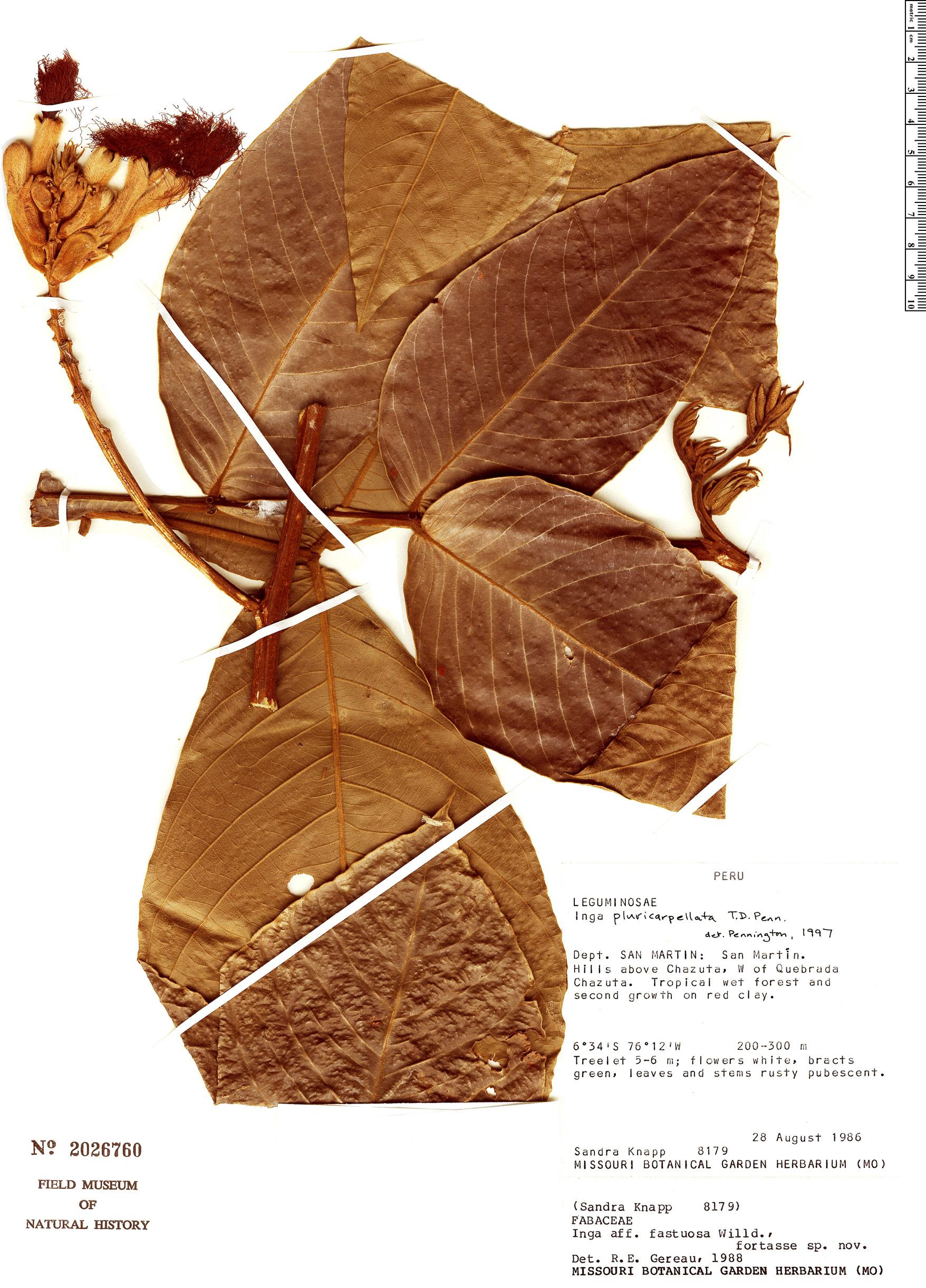 Specimen: Inga pluricarpellata