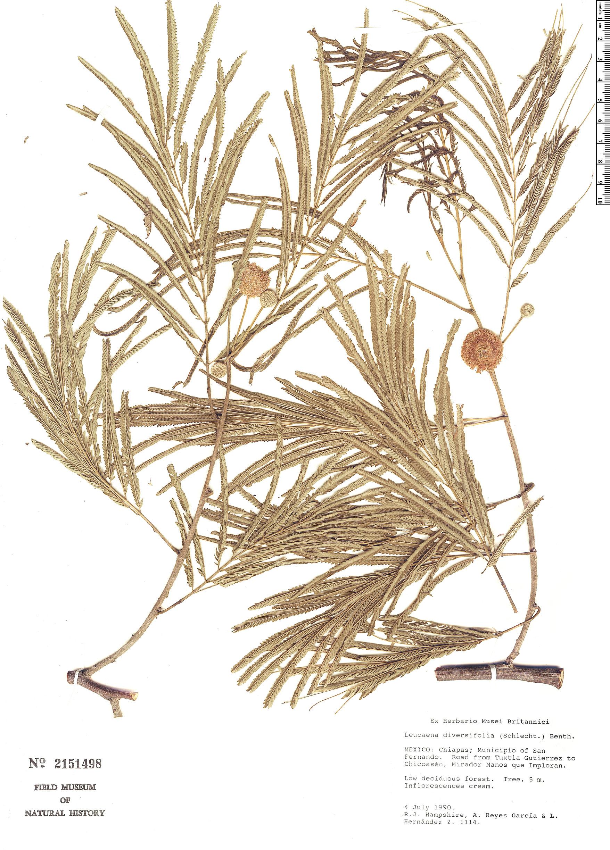 Specimen: Leucaena diversifolia