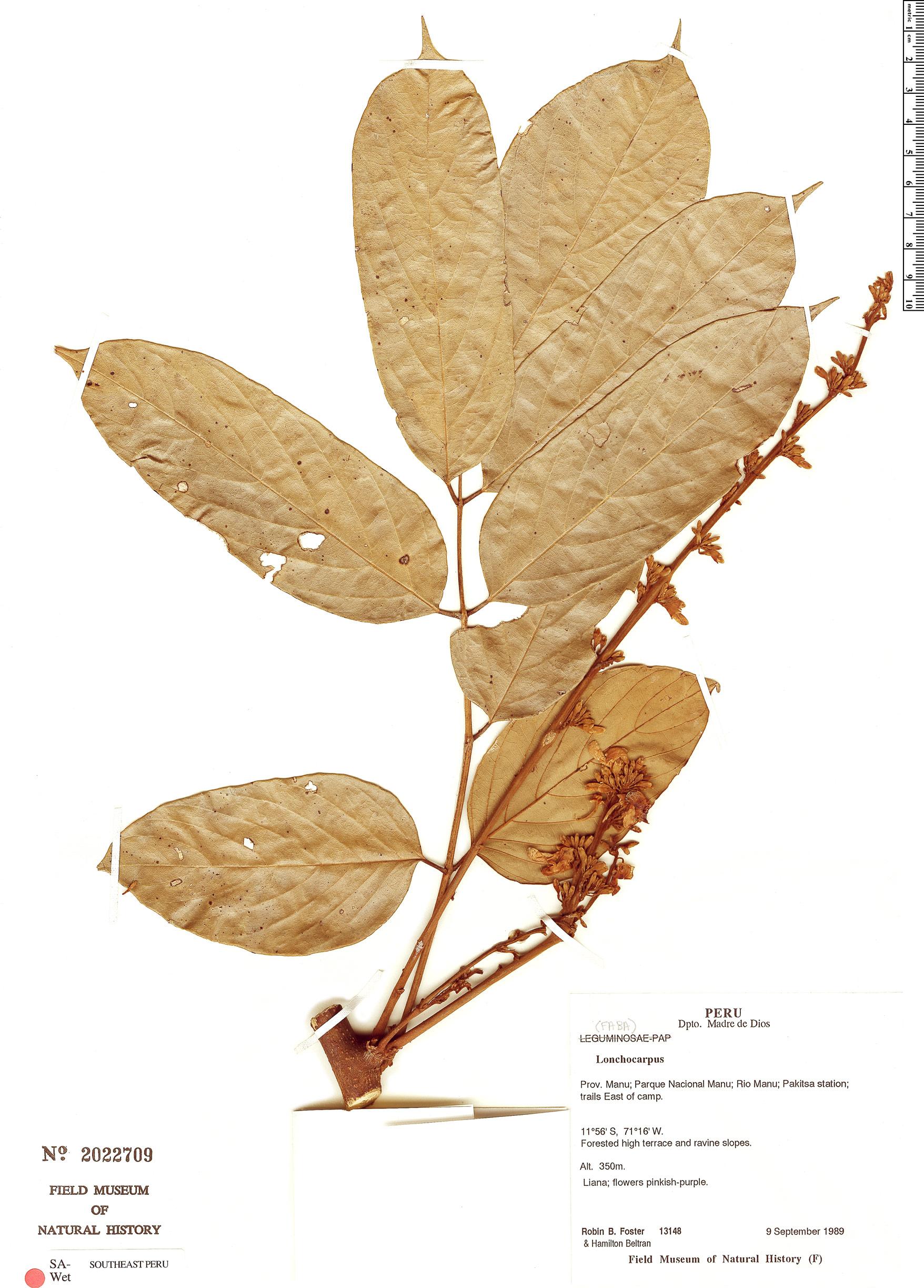 Specimen: Lonchocarpus