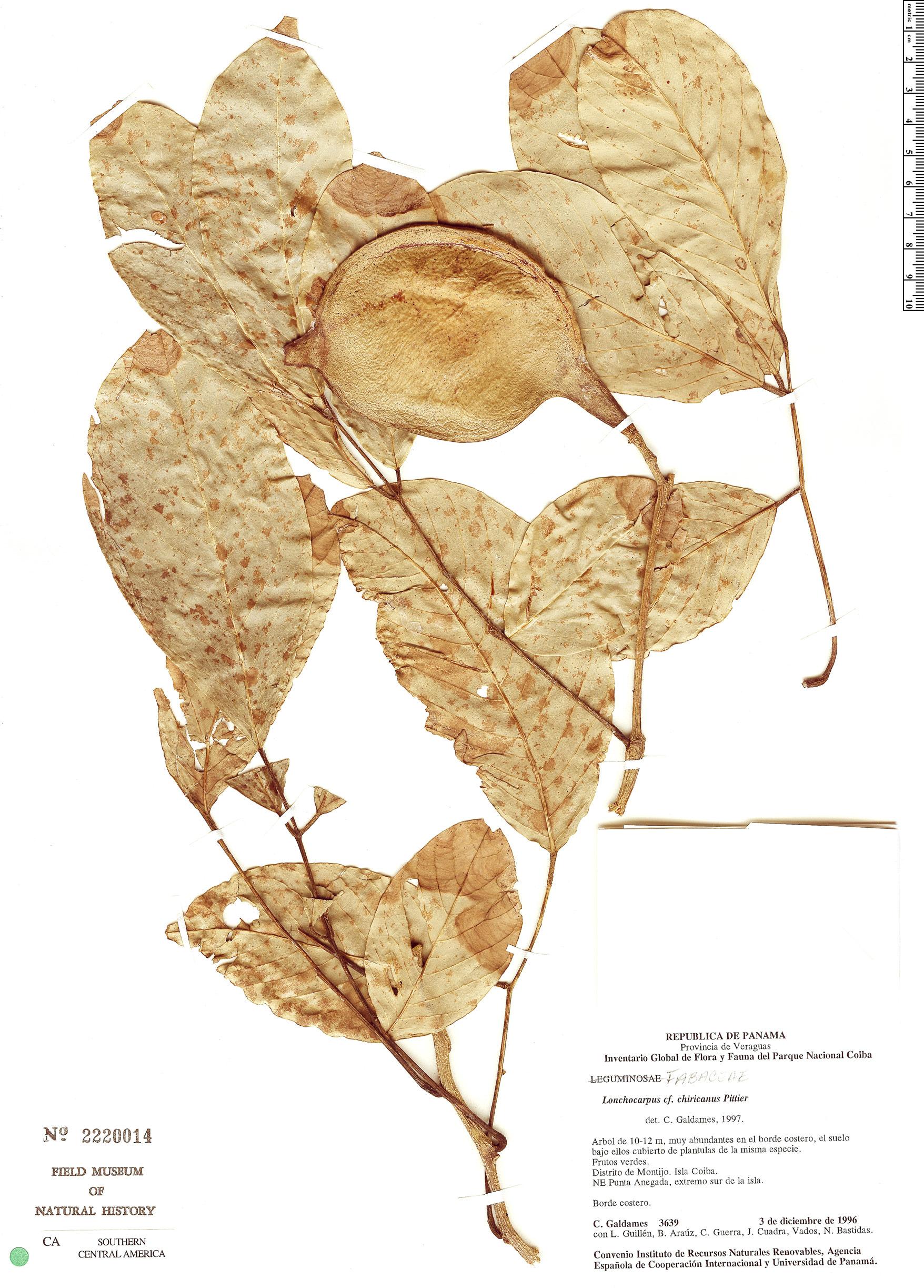 Specimen: Lonchocarpus chiricanus