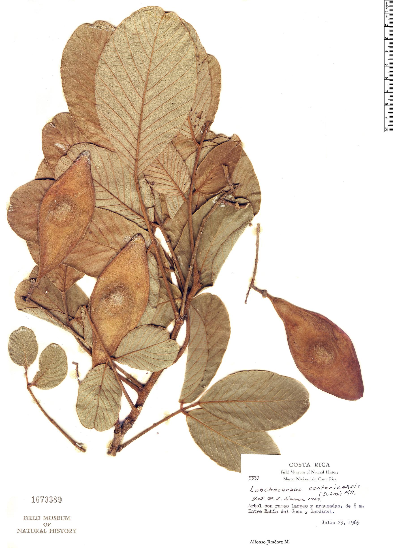 Specimen: Lonchocarpus costaricensis