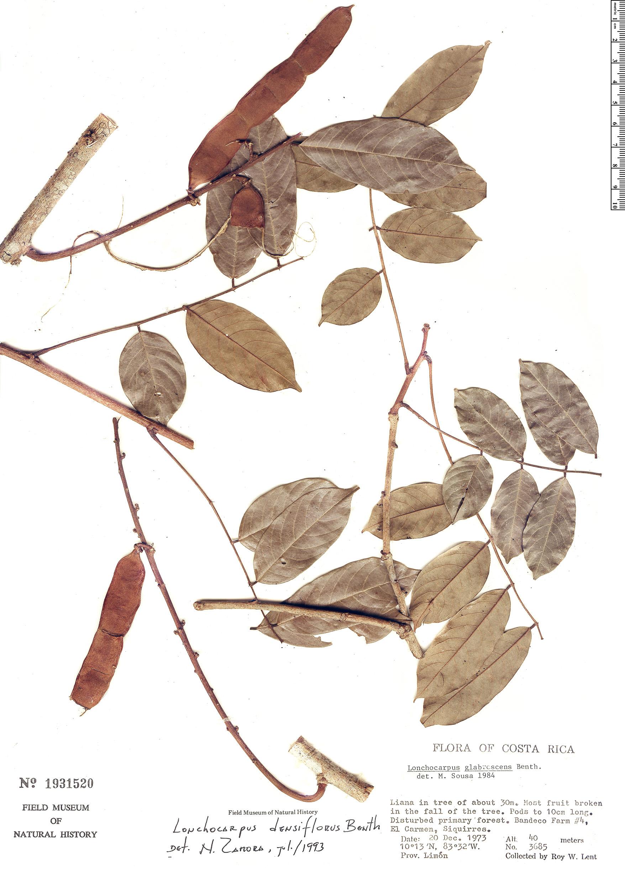 Specimen: Deguelia densiflora