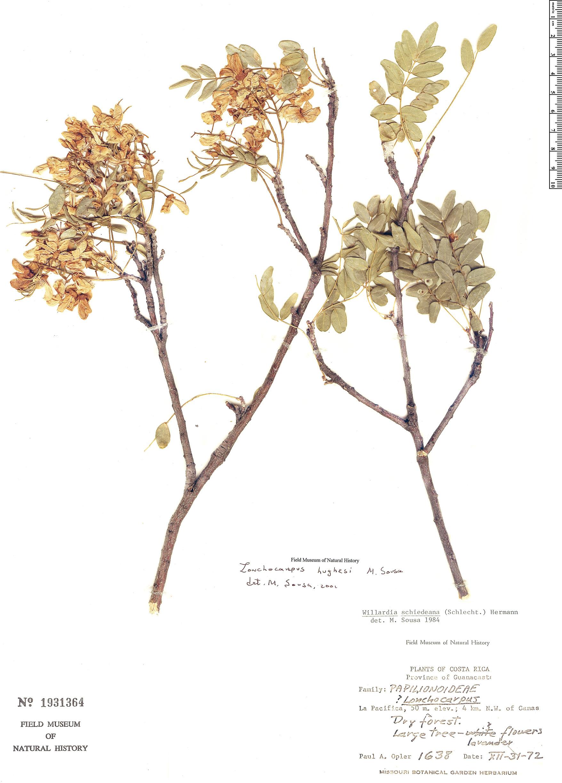 Specimen: Lonchocarpus hughesii