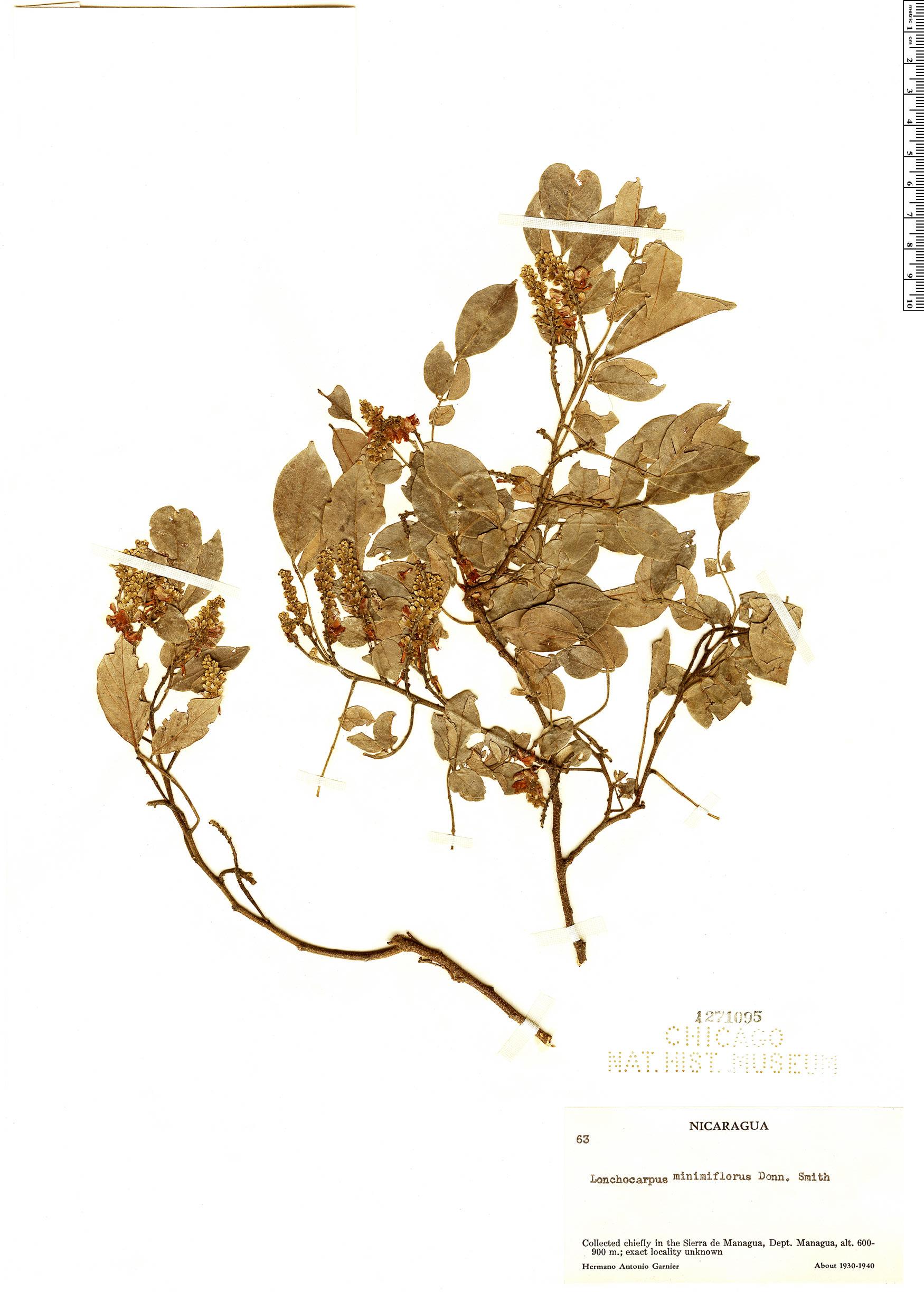 Specimen: Lonchocarpus minimiflorus